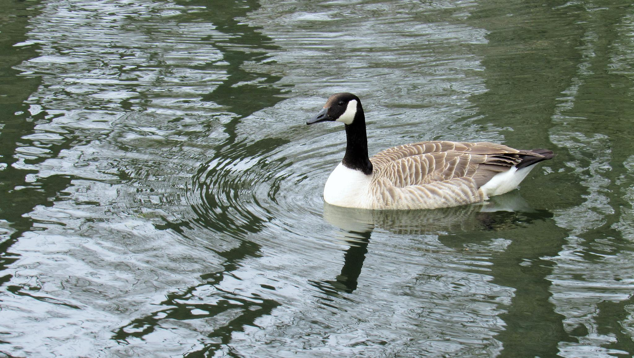 Goose #1 by Geoffrey Ackers