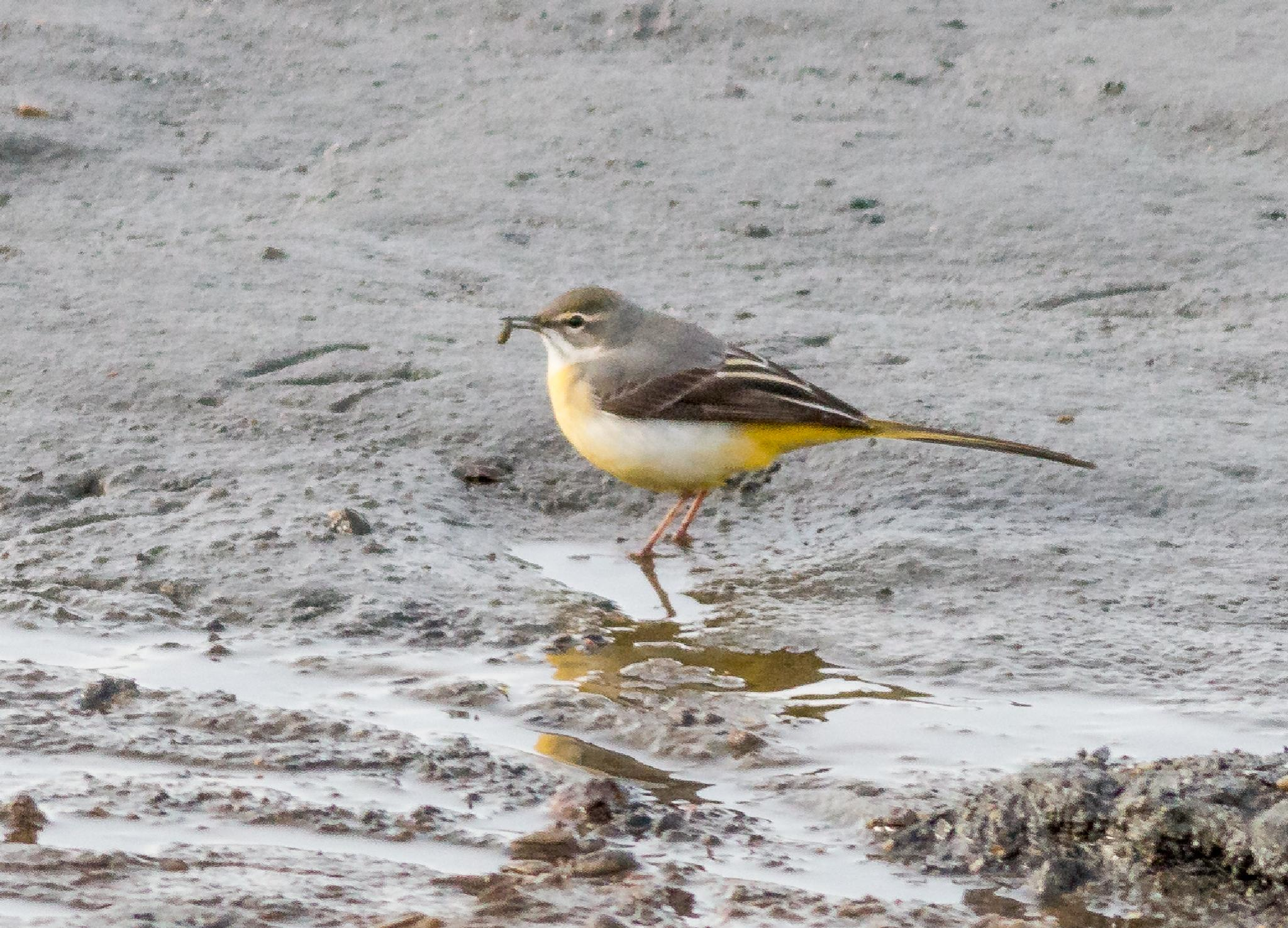 Gray Wagtail by tomdalhoy