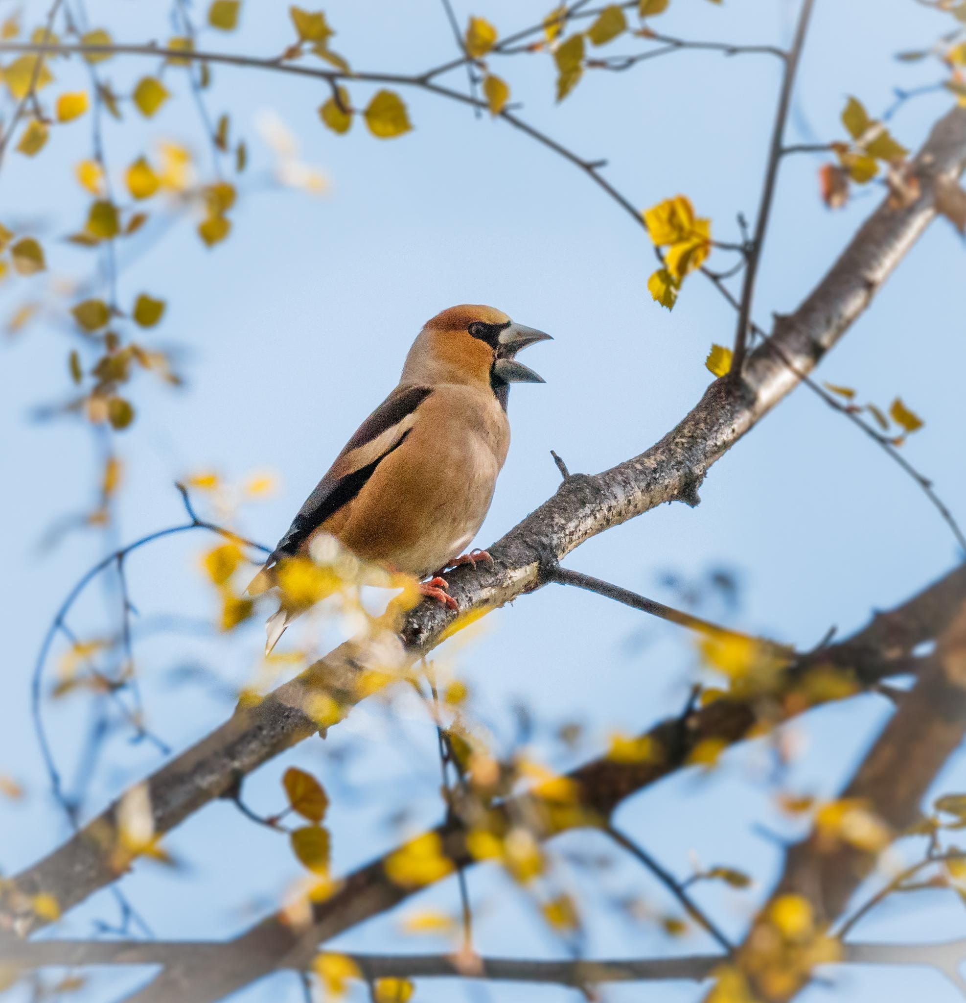Hawfinch by tomdalhoy