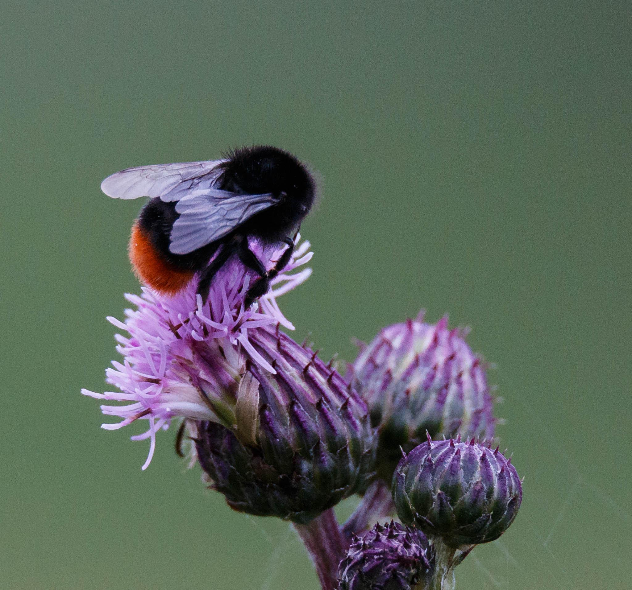 Red-tailed bumblebee by tomdalhoy