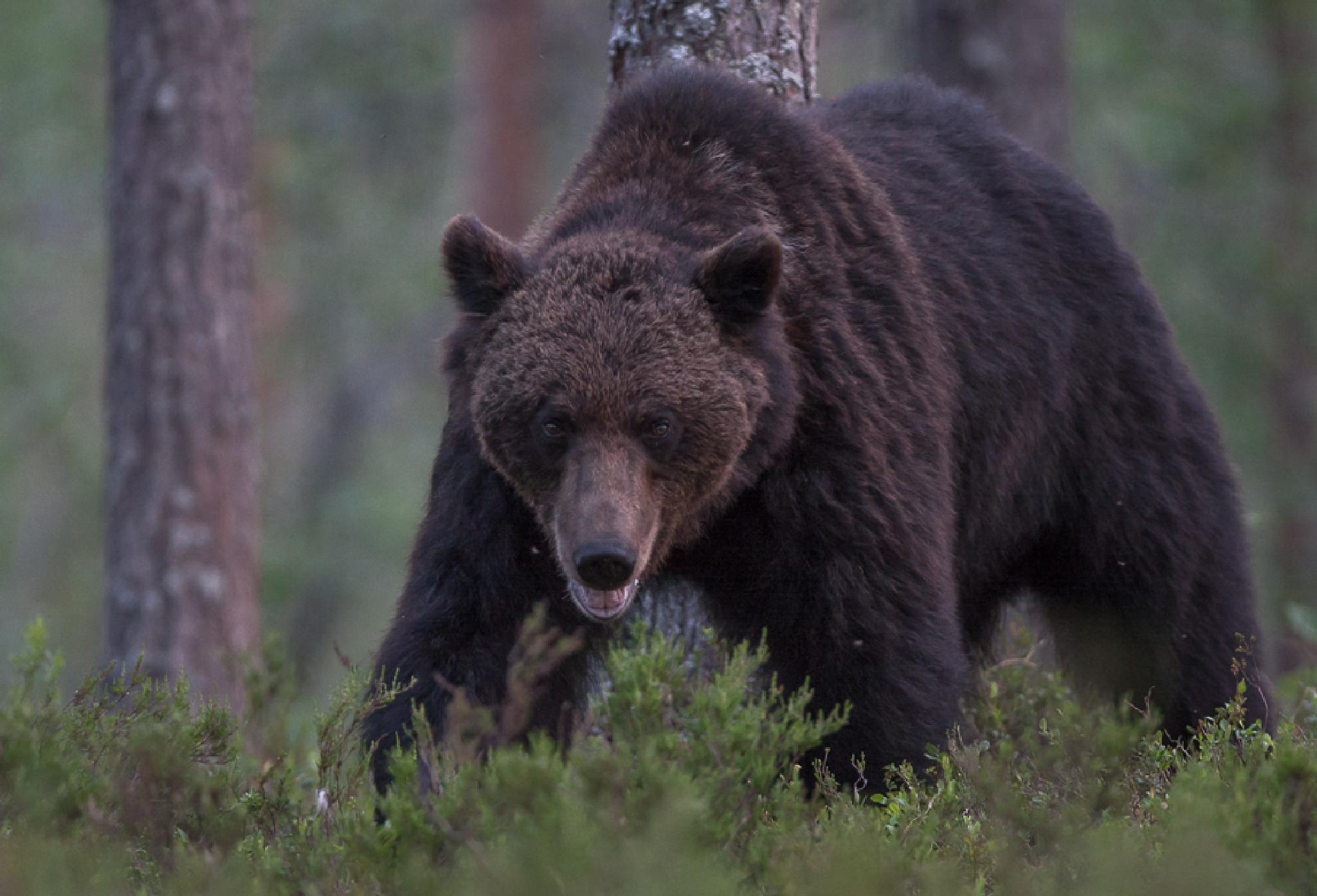 Karhu, Bear by Teemu.Heinonen.52