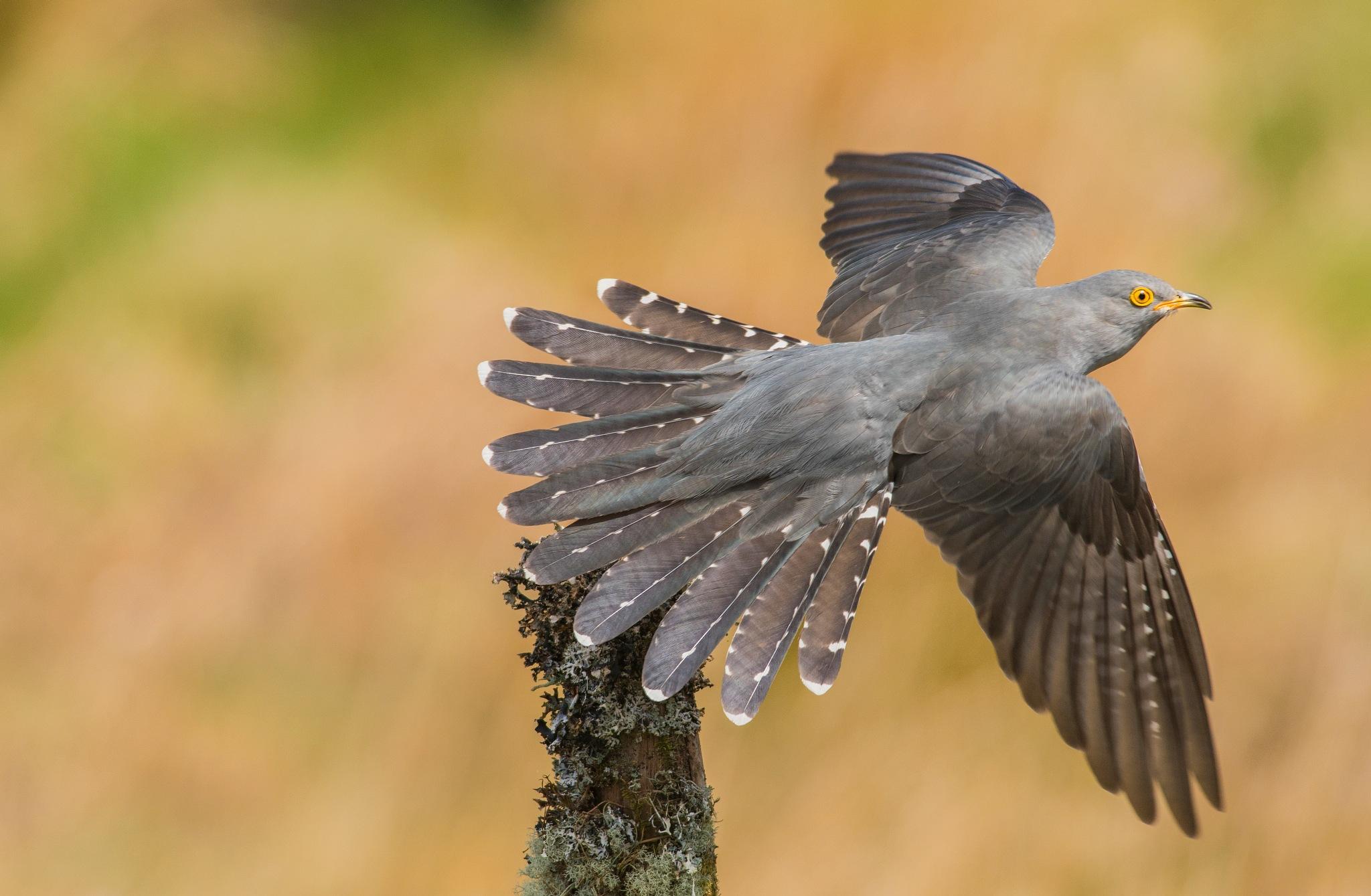 Cuckoo in flight by jamie.snr