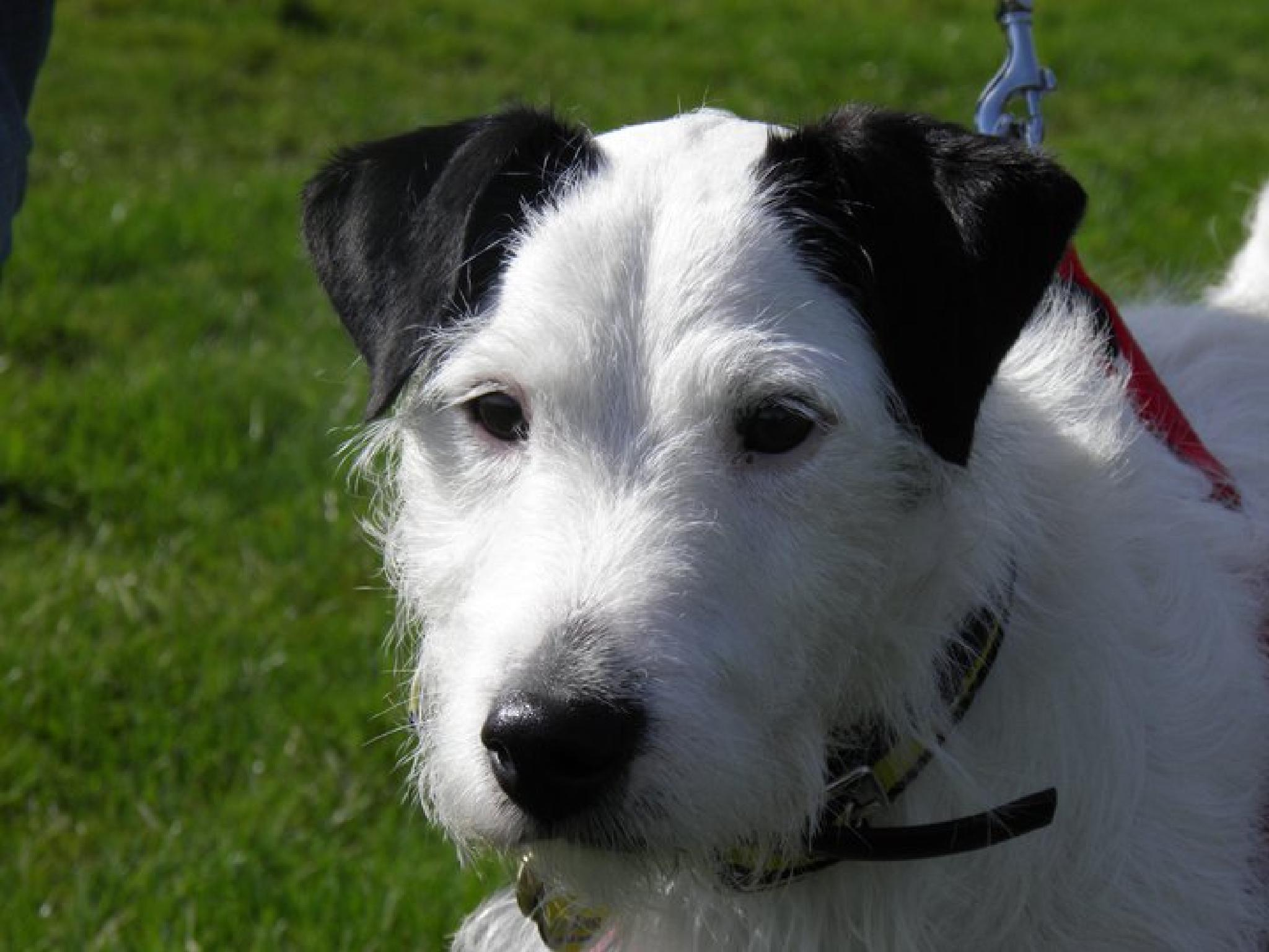 Photo in Portrait #parsons russell terrier