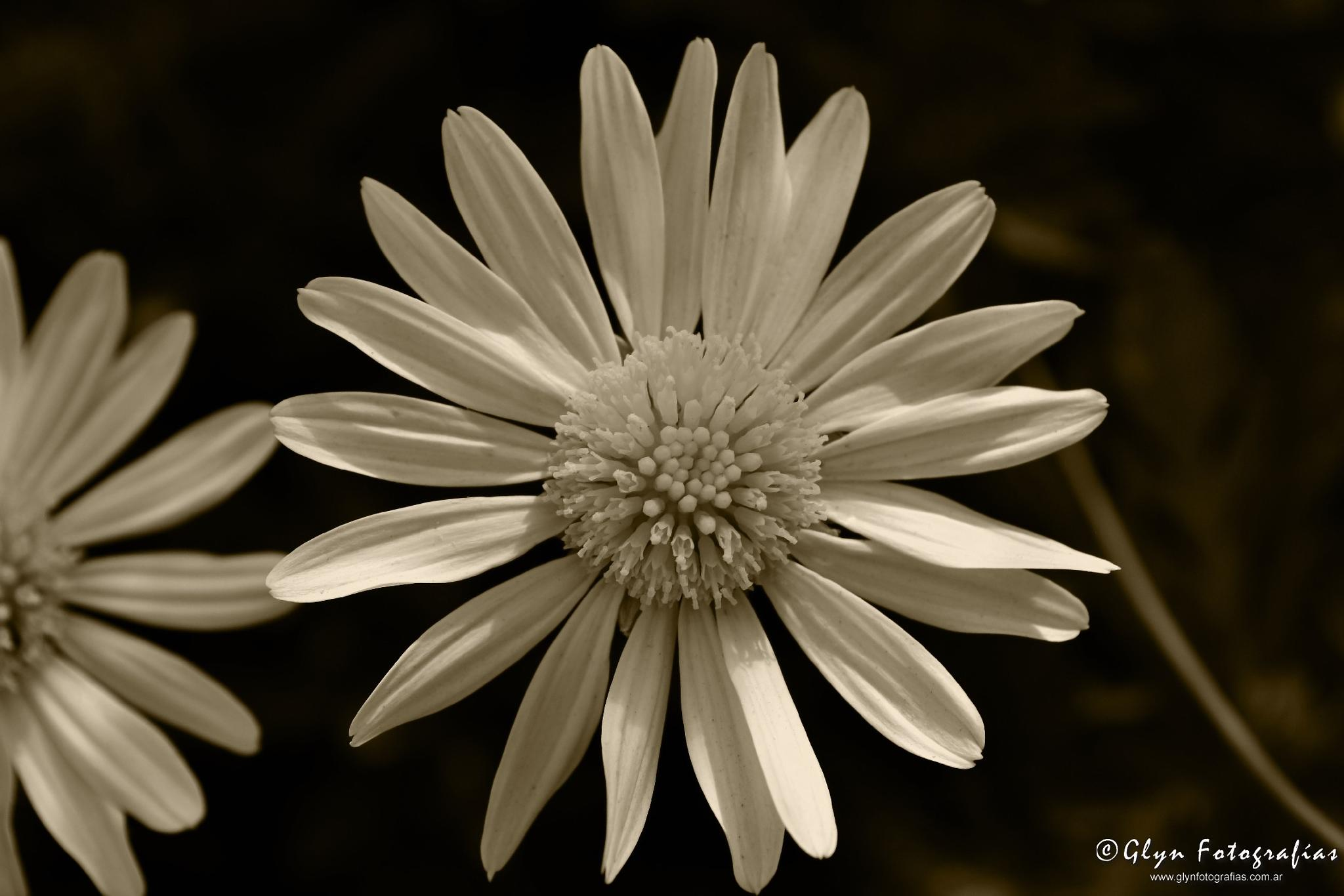 Flor by GlynFotografias