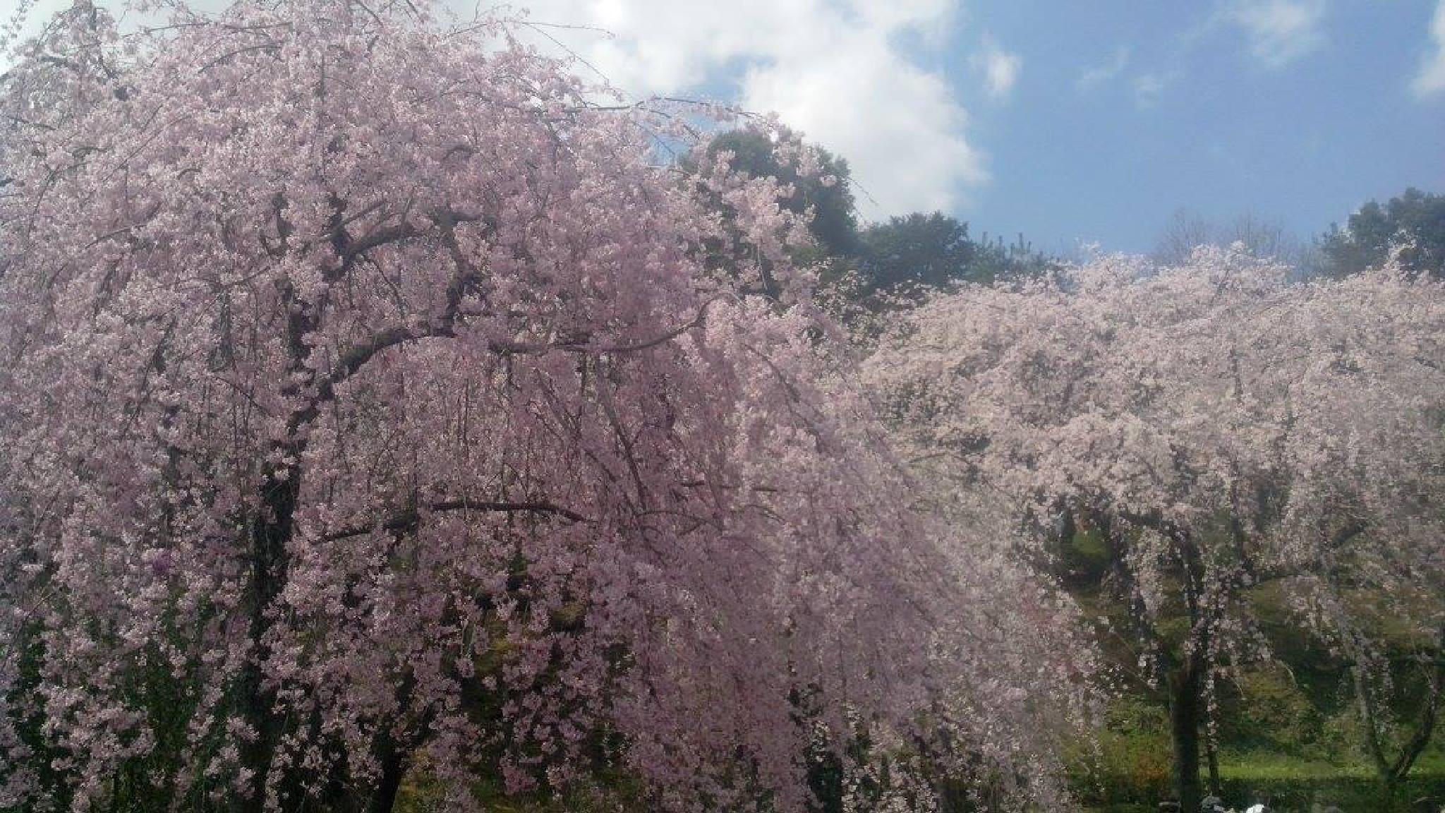 Sakura 2014 by Hermann