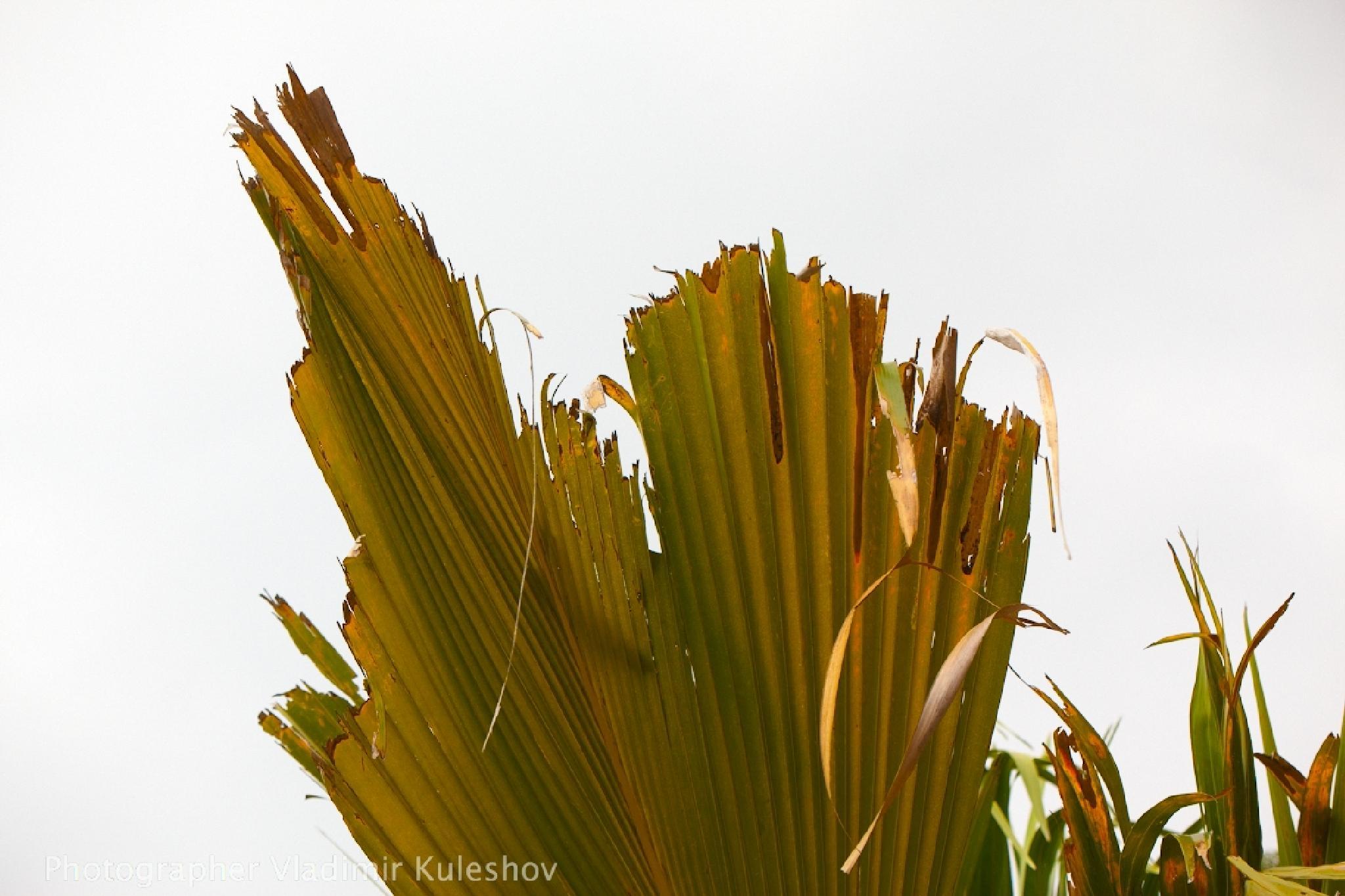 palm leave  by Vladimir Kuleshov