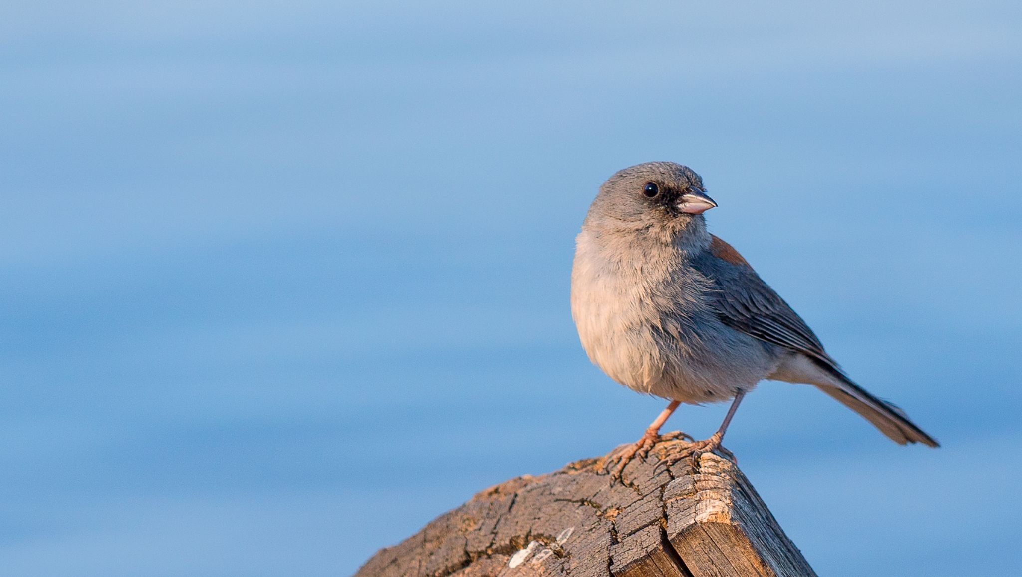 gray headed junco by dnphotographyspasovici
