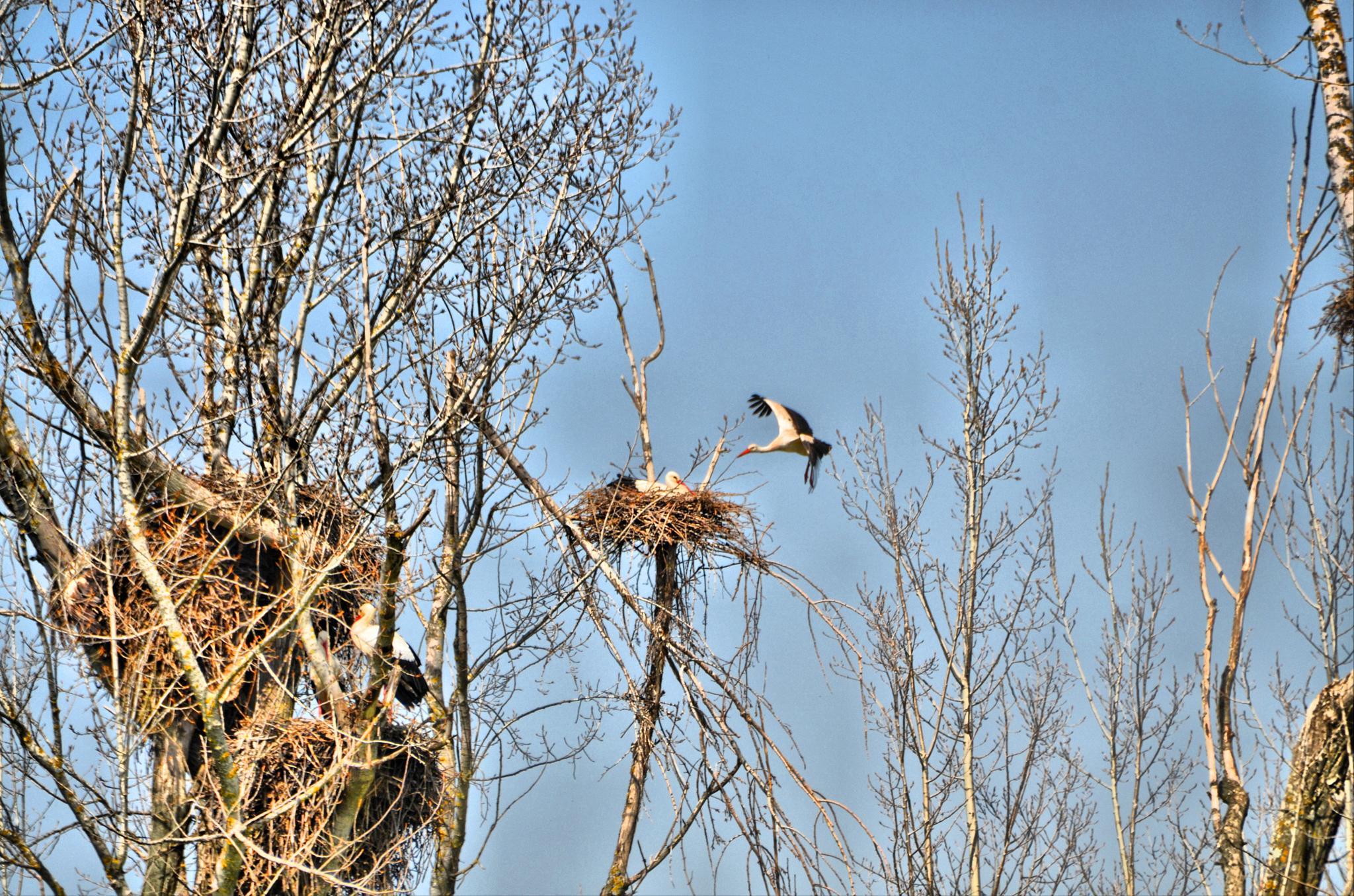 stork feeding by Jorge Alonso