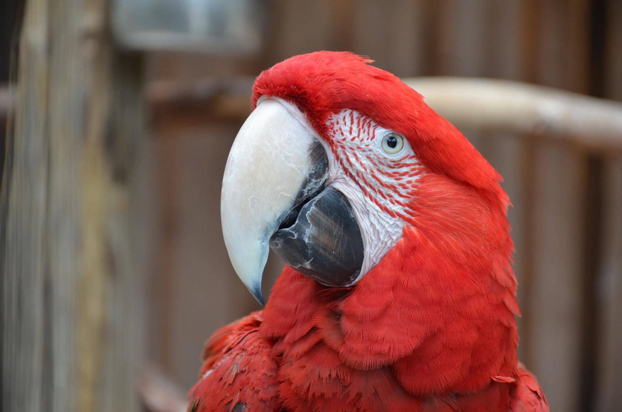 Red head Parrot by raspbearys