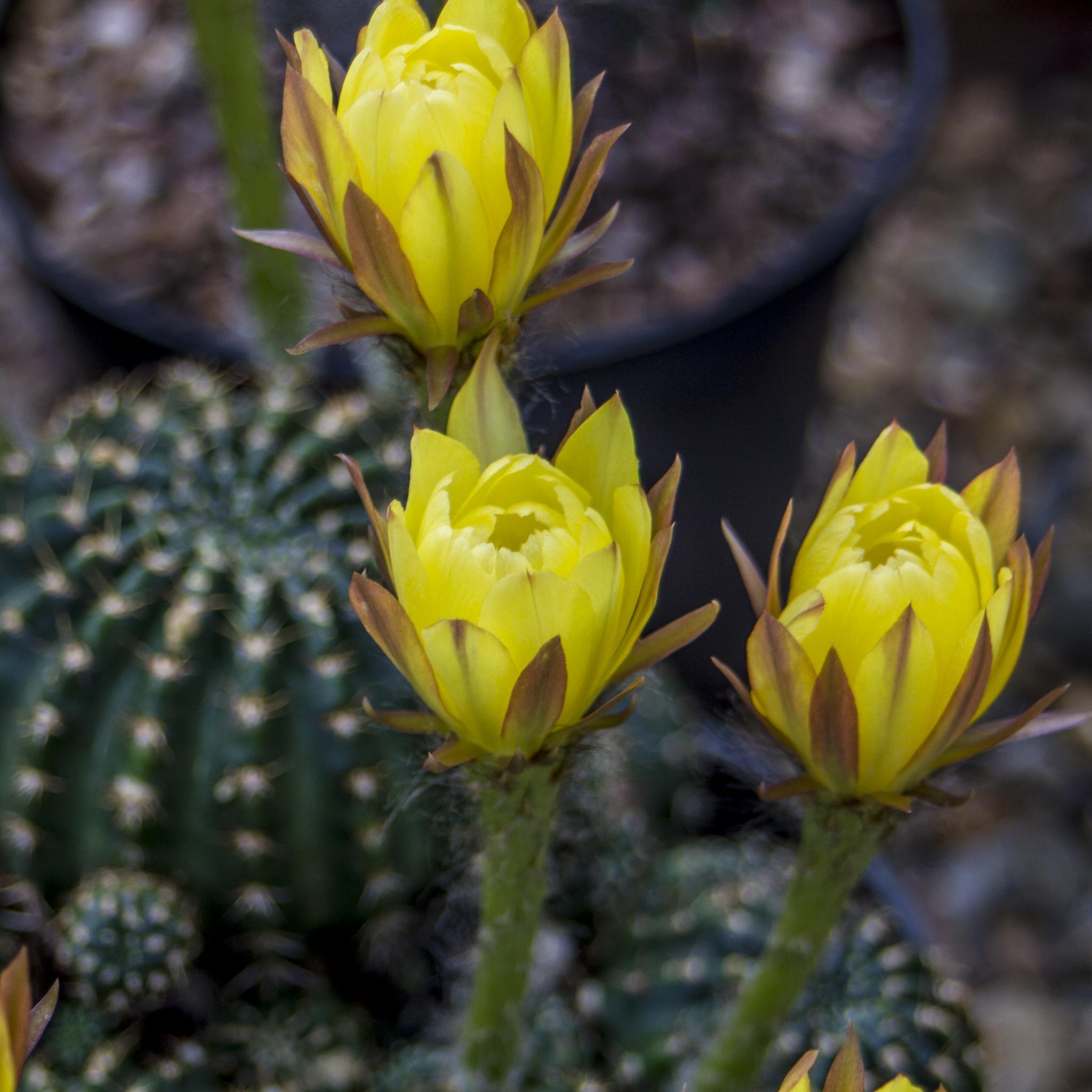 Flowering Cacti by charliedapper