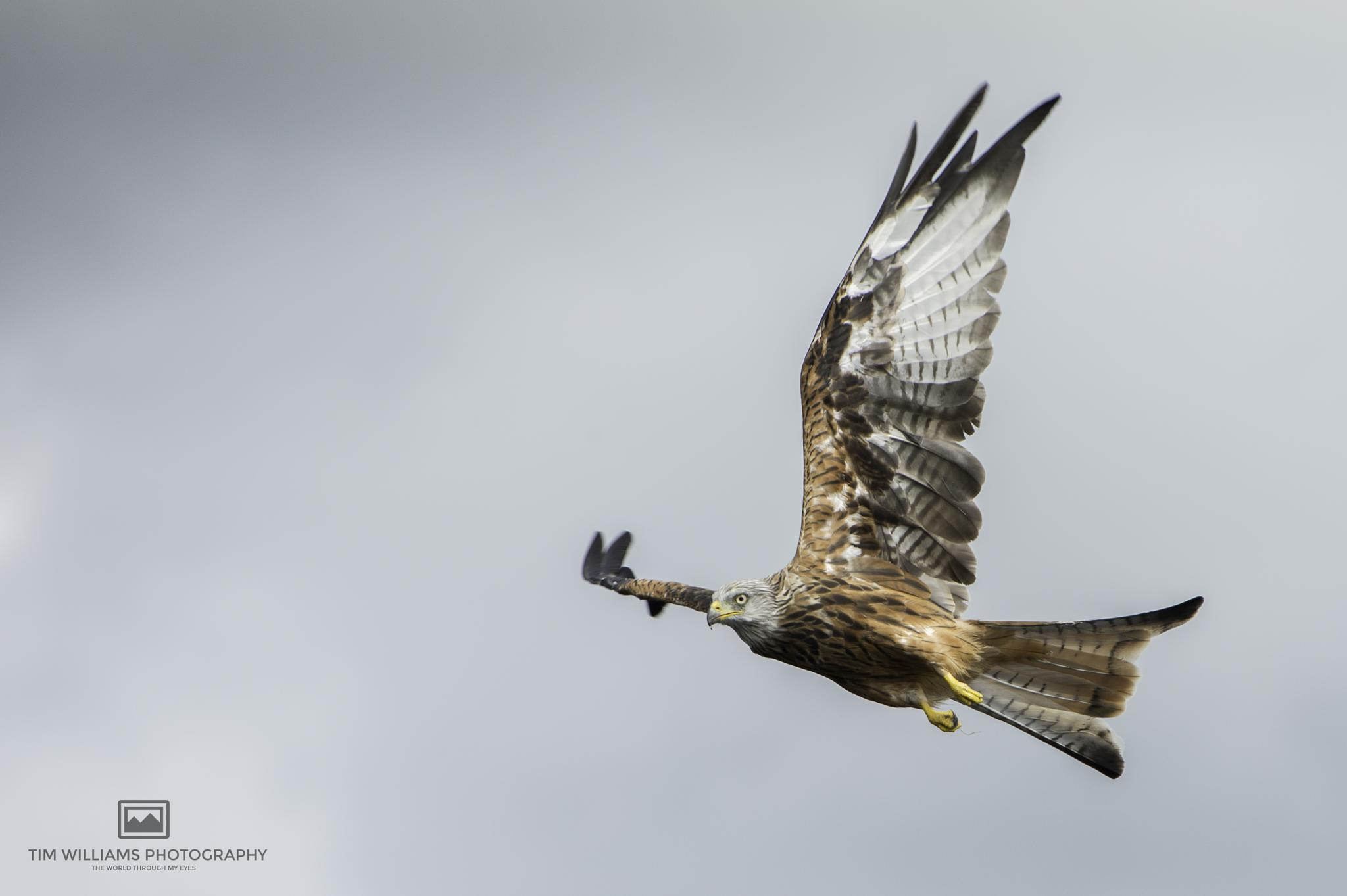 RED KITE  by timhdr