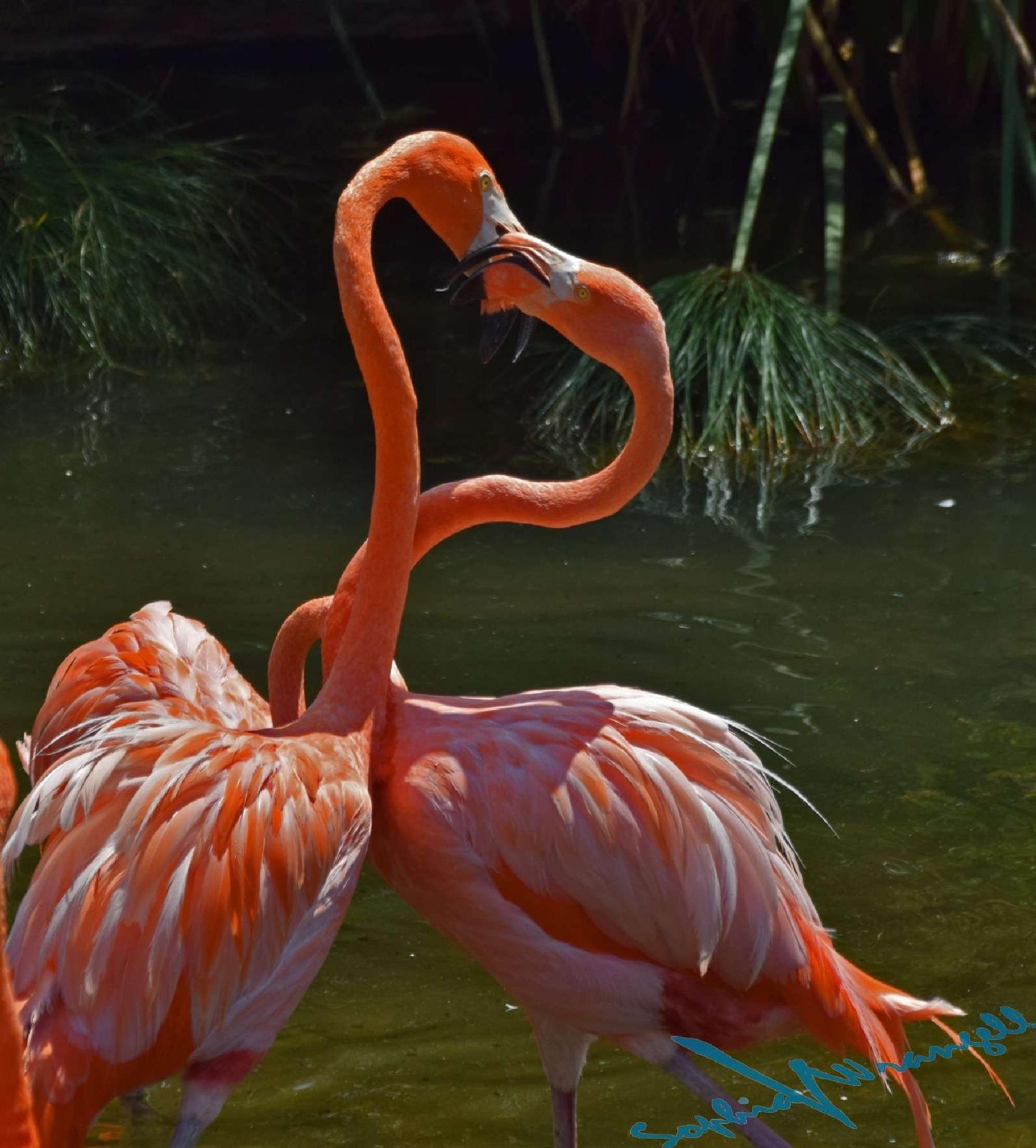 Flamingos fighting by Sophia von Wrangell