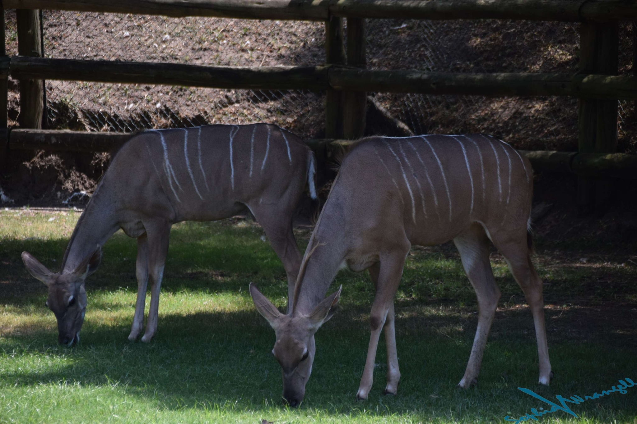 Kudu Antilopes by Sophia von Wrangell