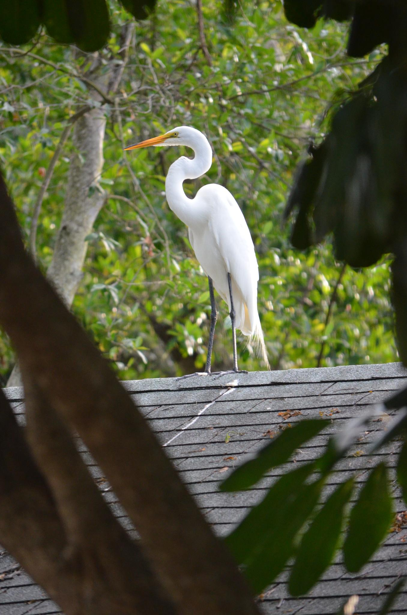 Great Egret on the roof by Sophia von Wrangell