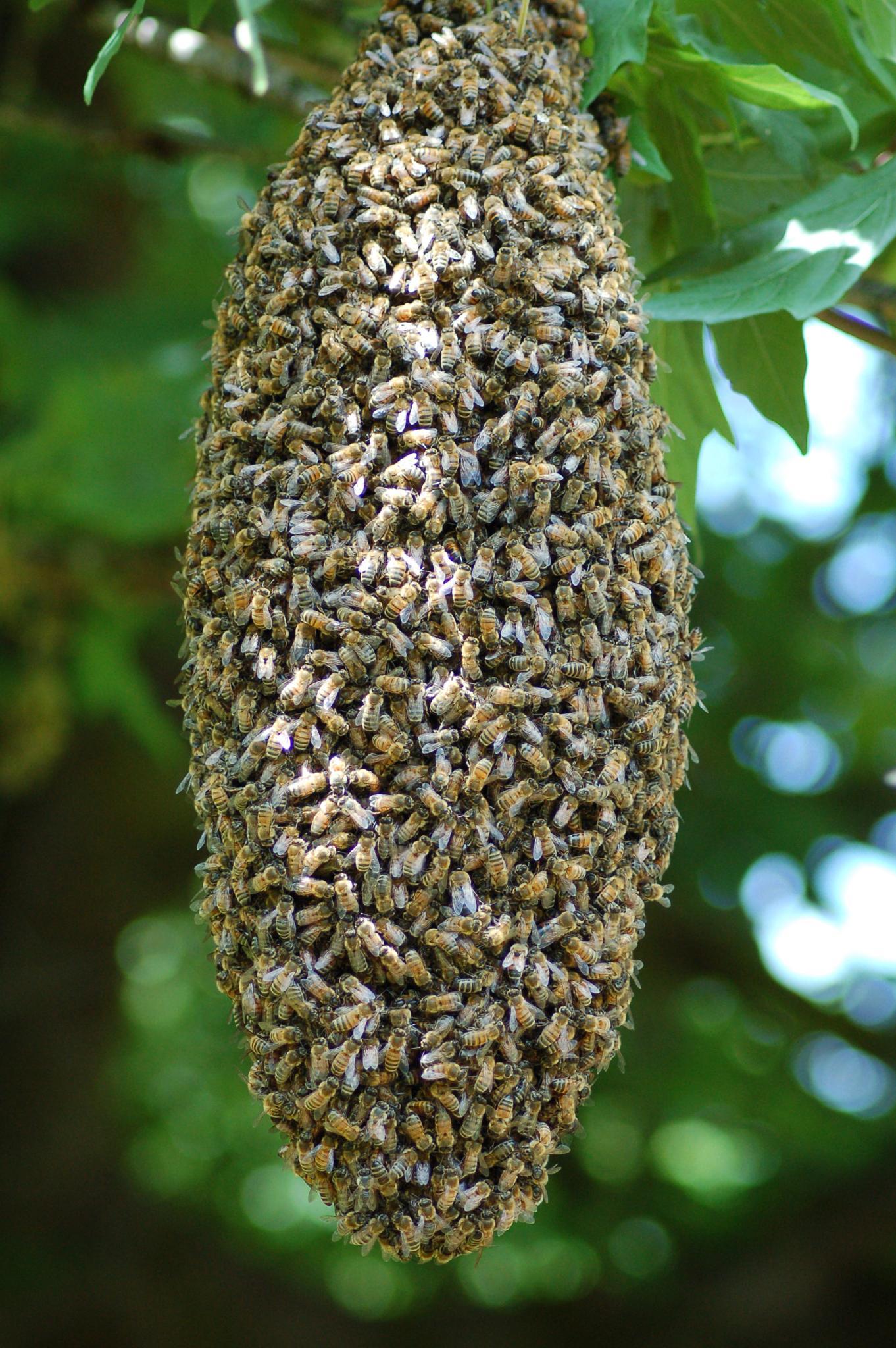 Bee migration by Sophia von Wrangell