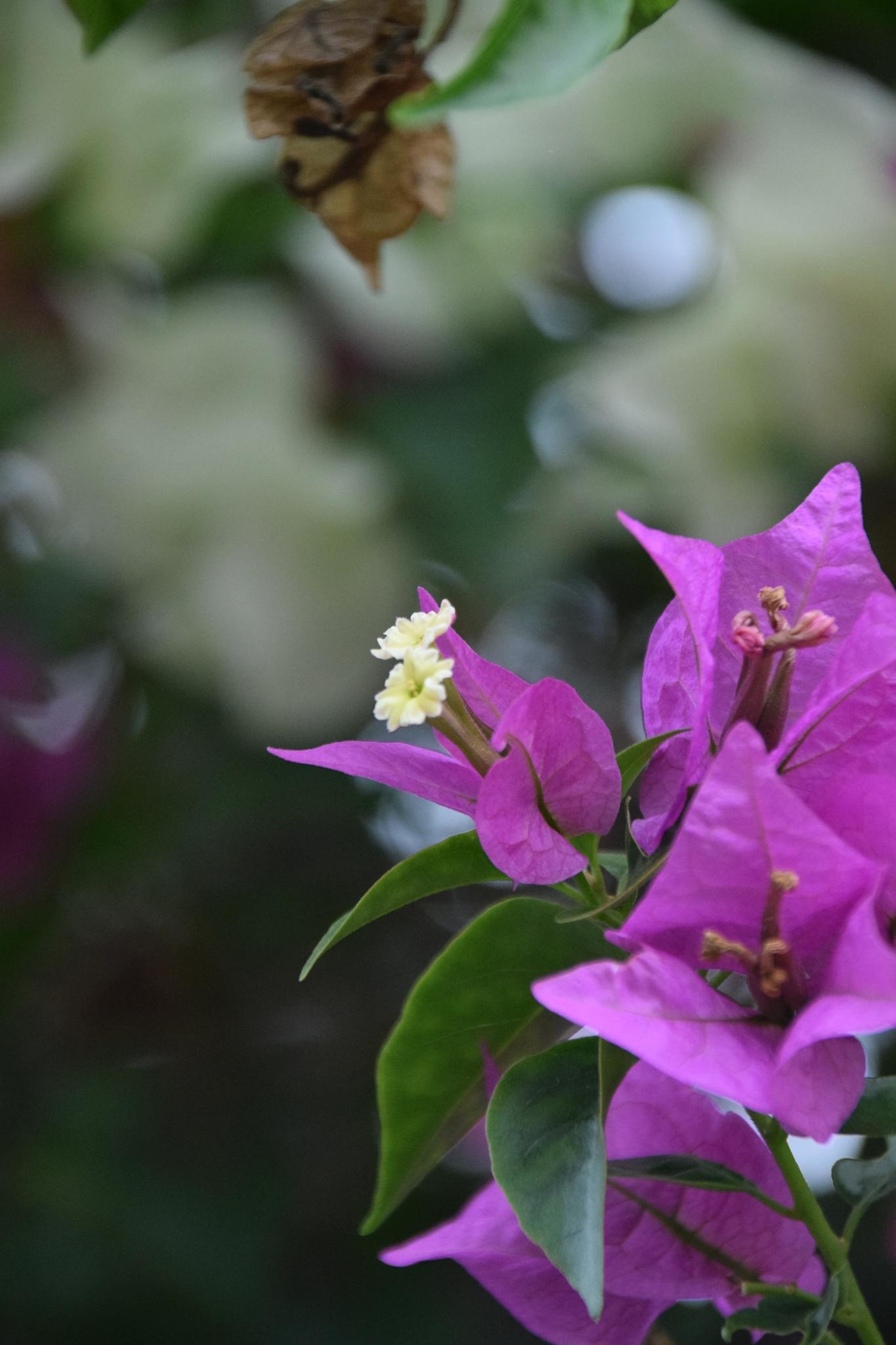 Bouganvilia in bloom by Sophia von Wrangell