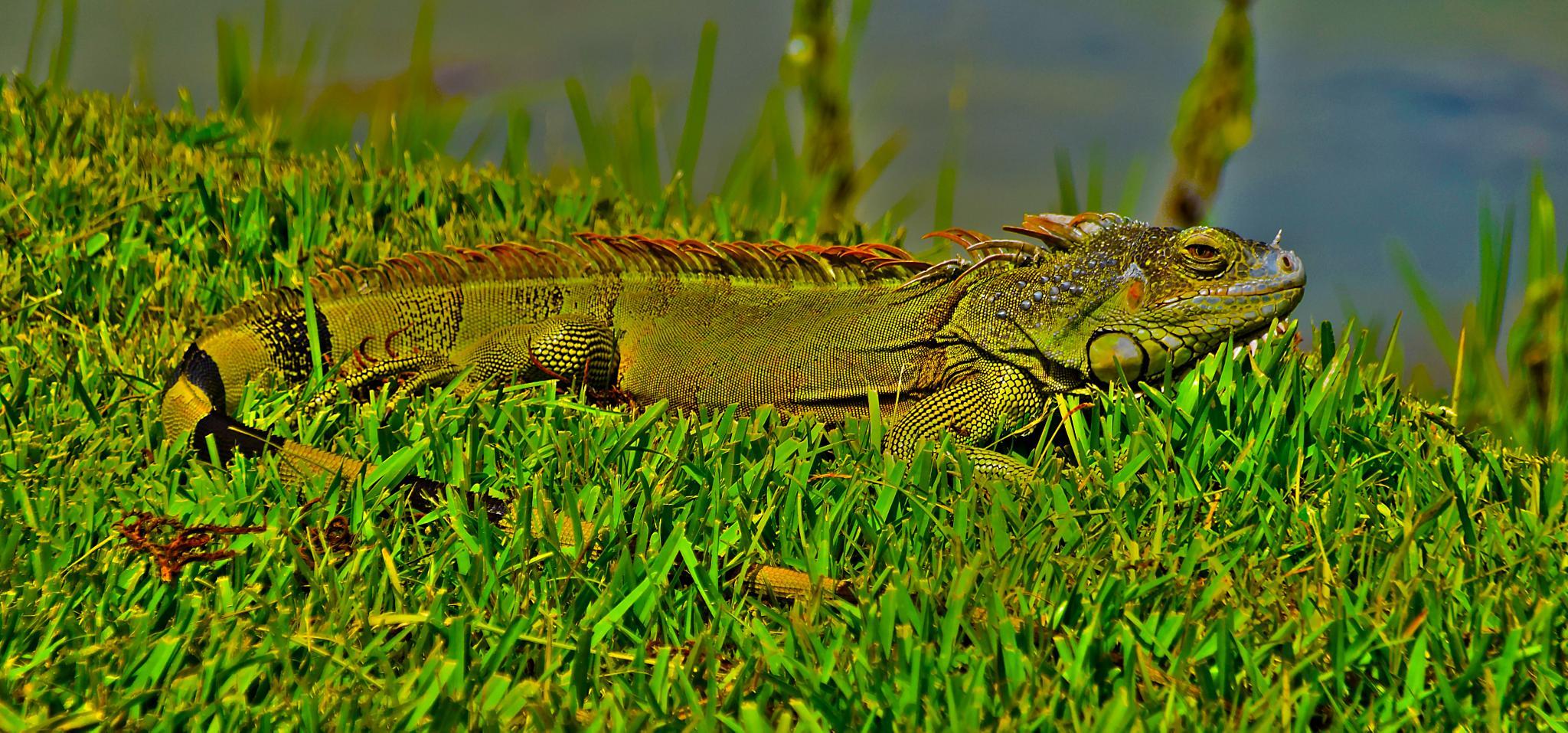 Male Iguana by Sophia von Wrangell