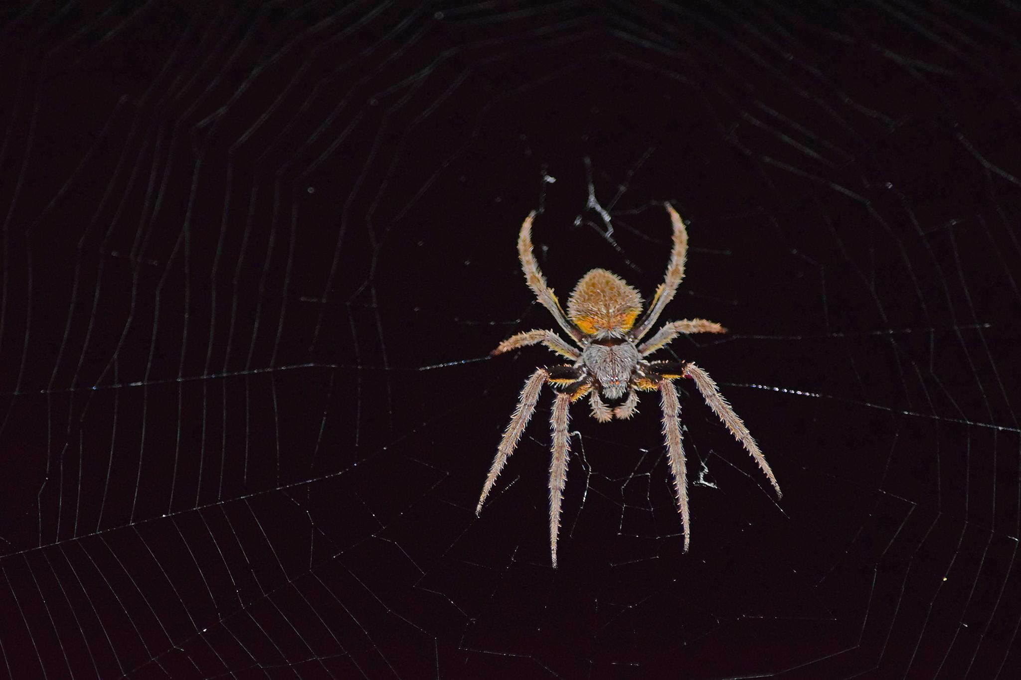 Wolf Spider (Nocturnal) by Sophia von Wrangell