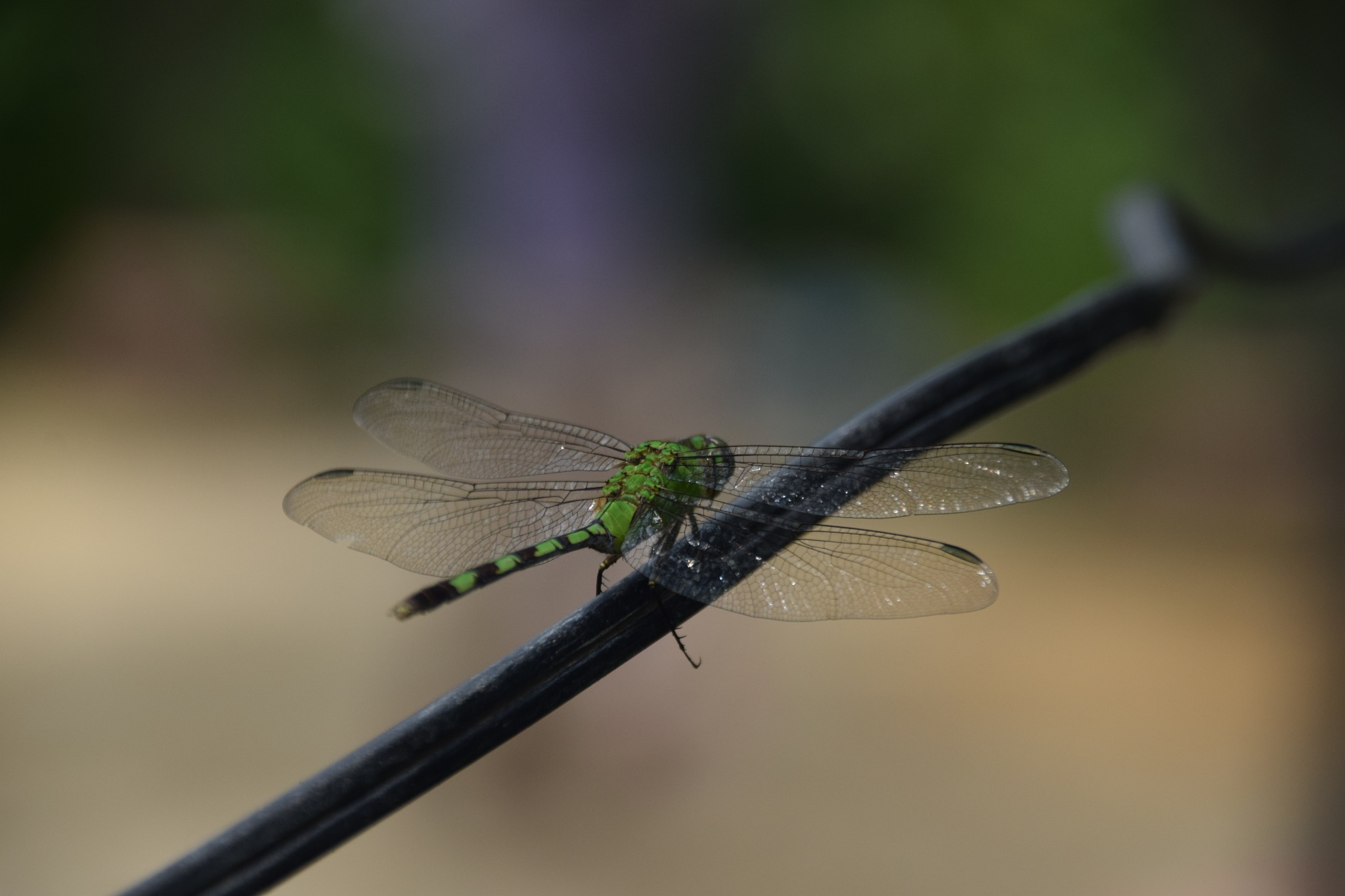 dragonfly strong agaist the wind by Sophia von Wrangell