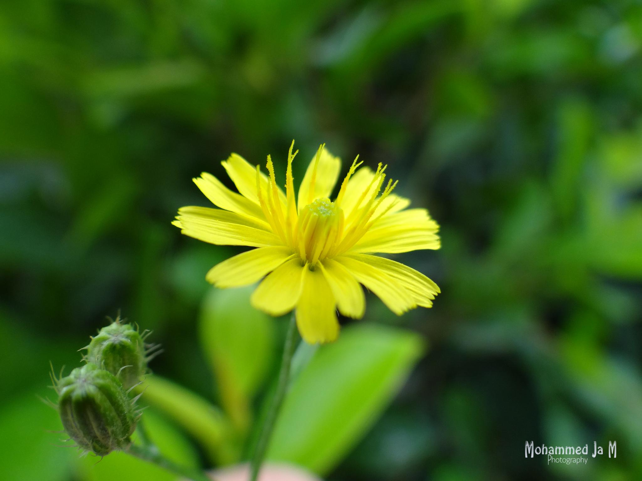 Yellow flower .. symbolizes the warm love by Mohammed Jasaam