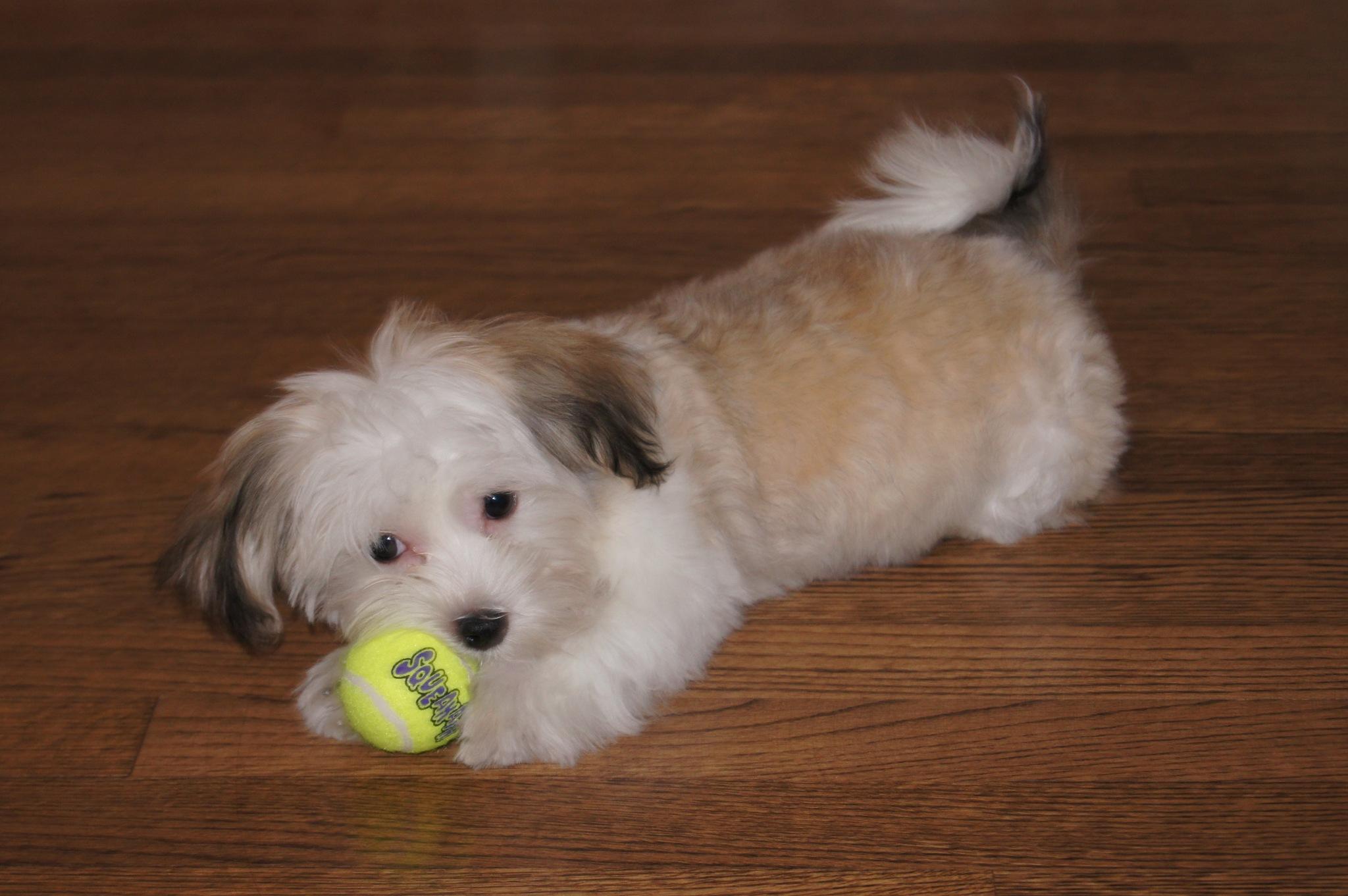Bella and Tennis Ball by joann.dorazio2