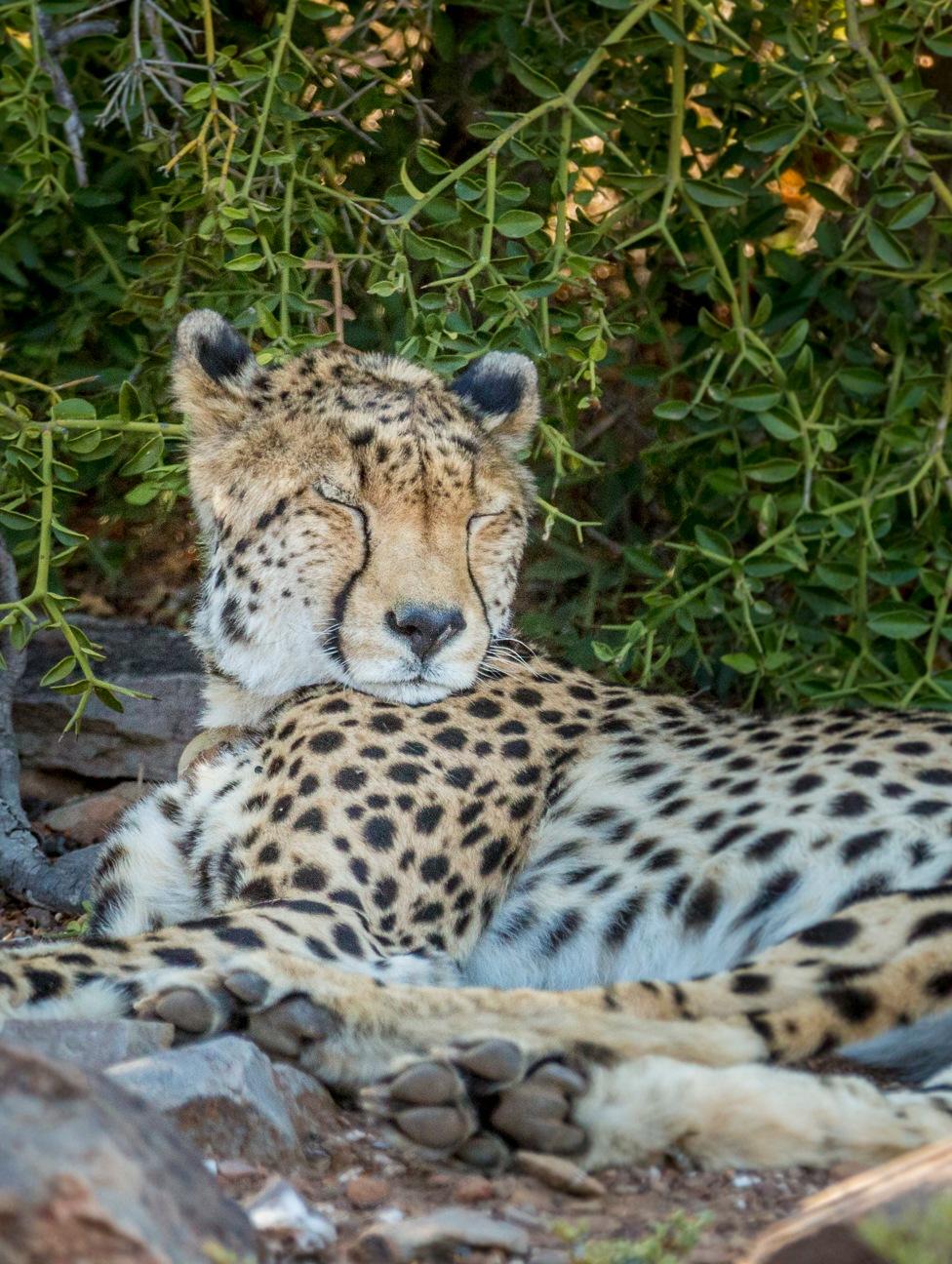 Cheetah in the shade by sdixon2380