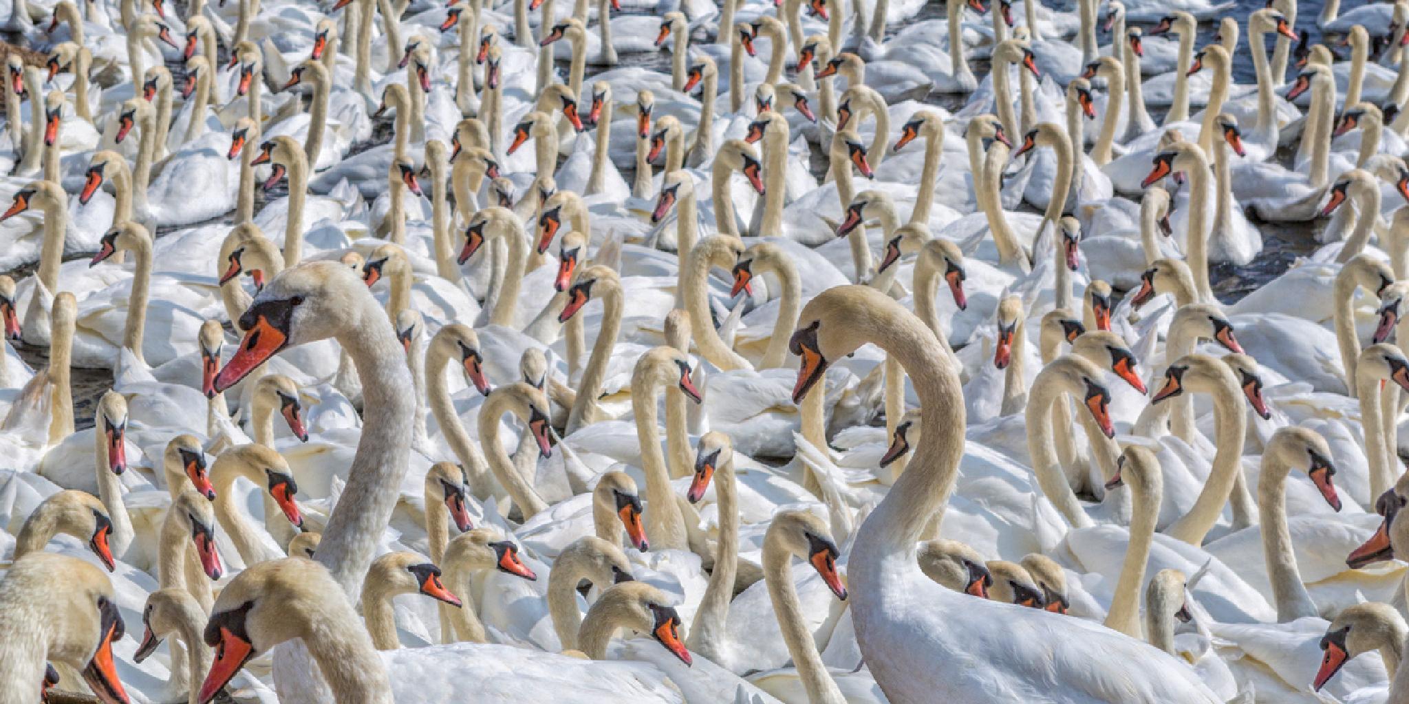 A few swans by sdixon2380