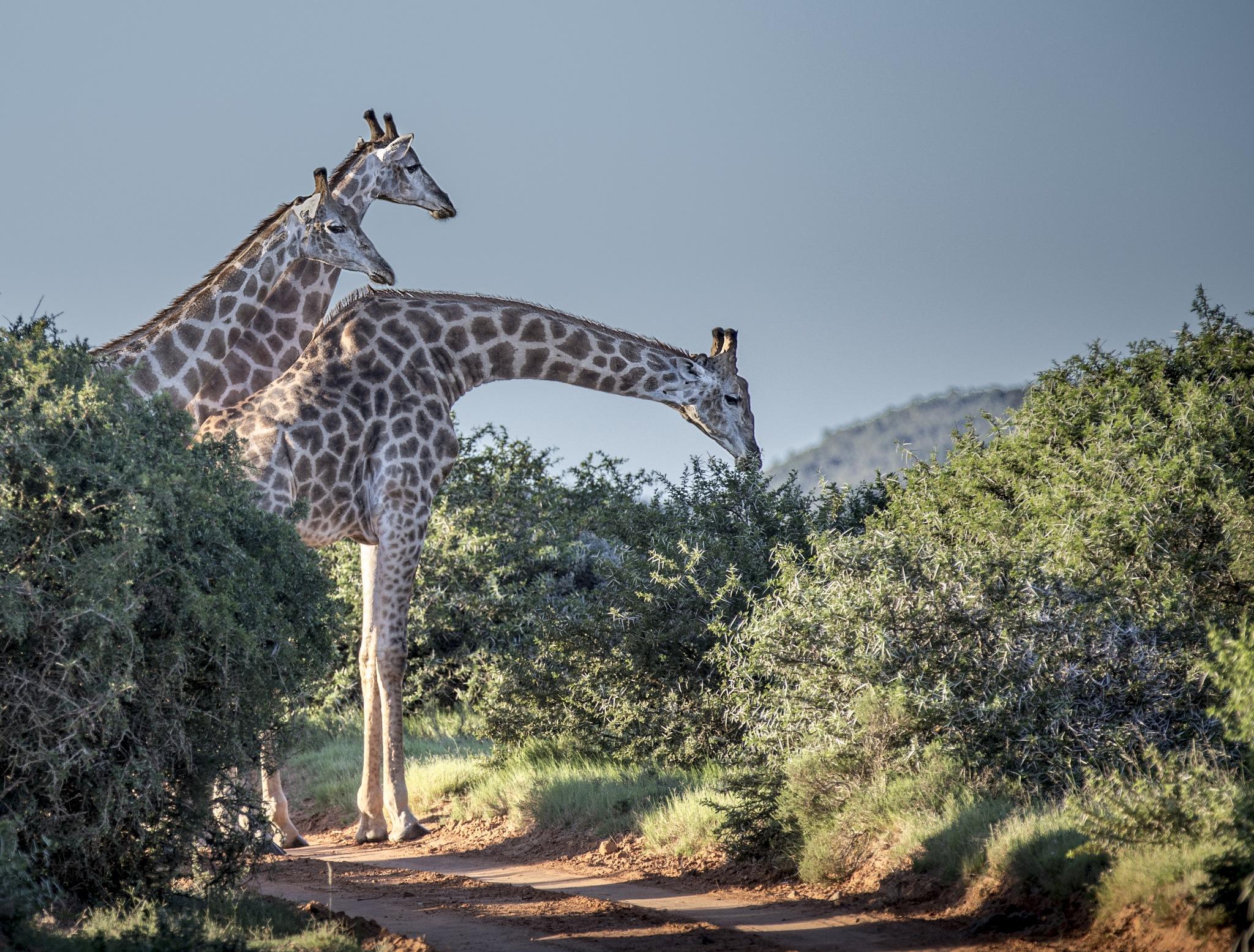 Safari Rush Hour by sdixon2380