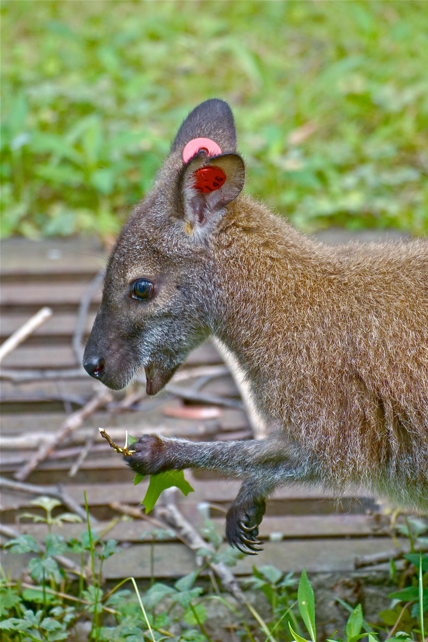 wallaby, mid-snack by Debi Staron