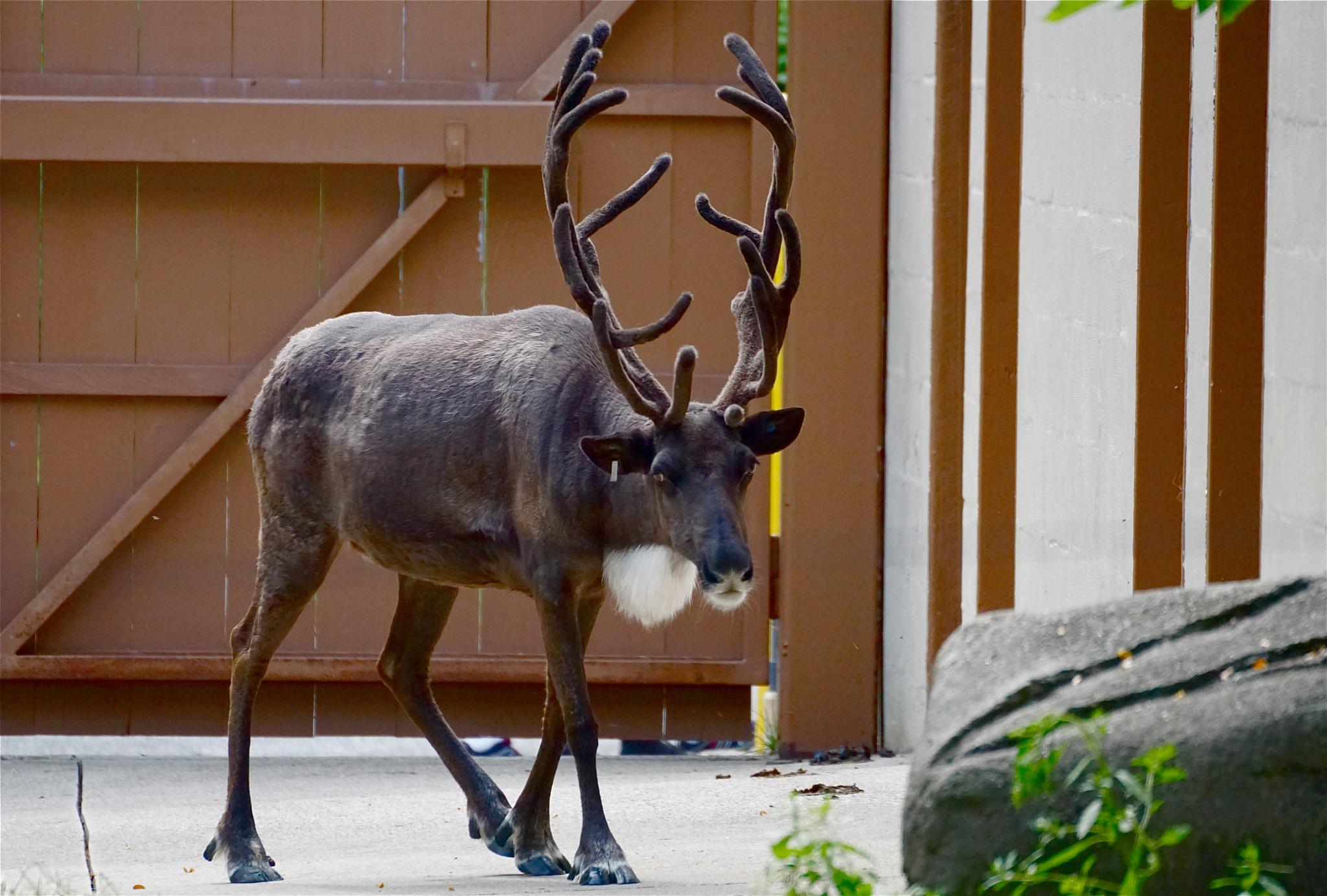 reindeer, OFF season by Debi Staron