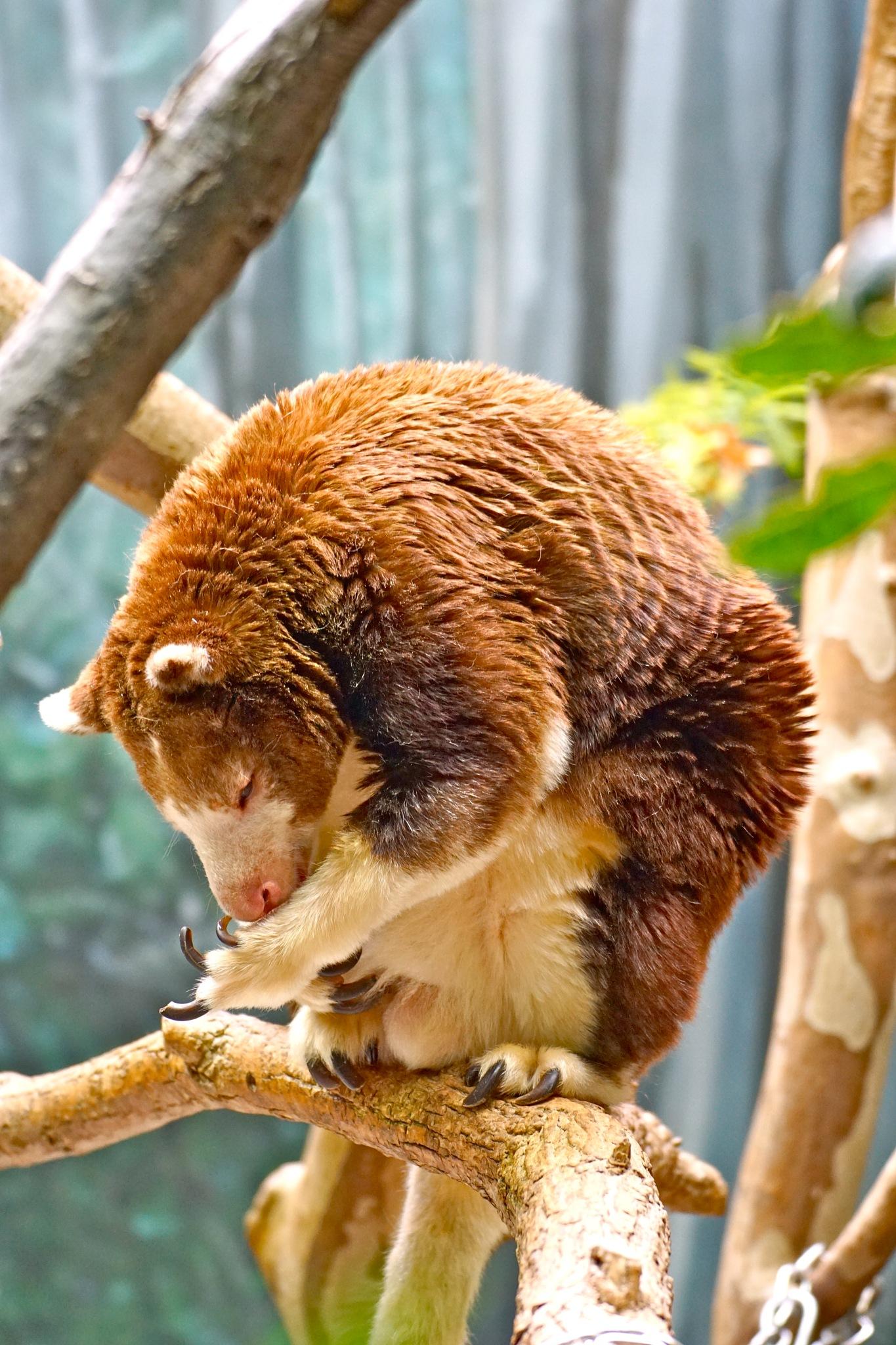 tree kangaroo grooming by Debi Staron