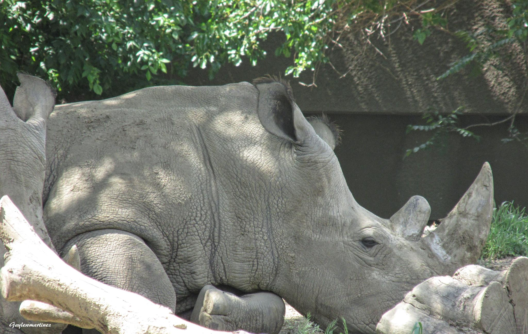 White Rhino by gayle.wolfemartinez