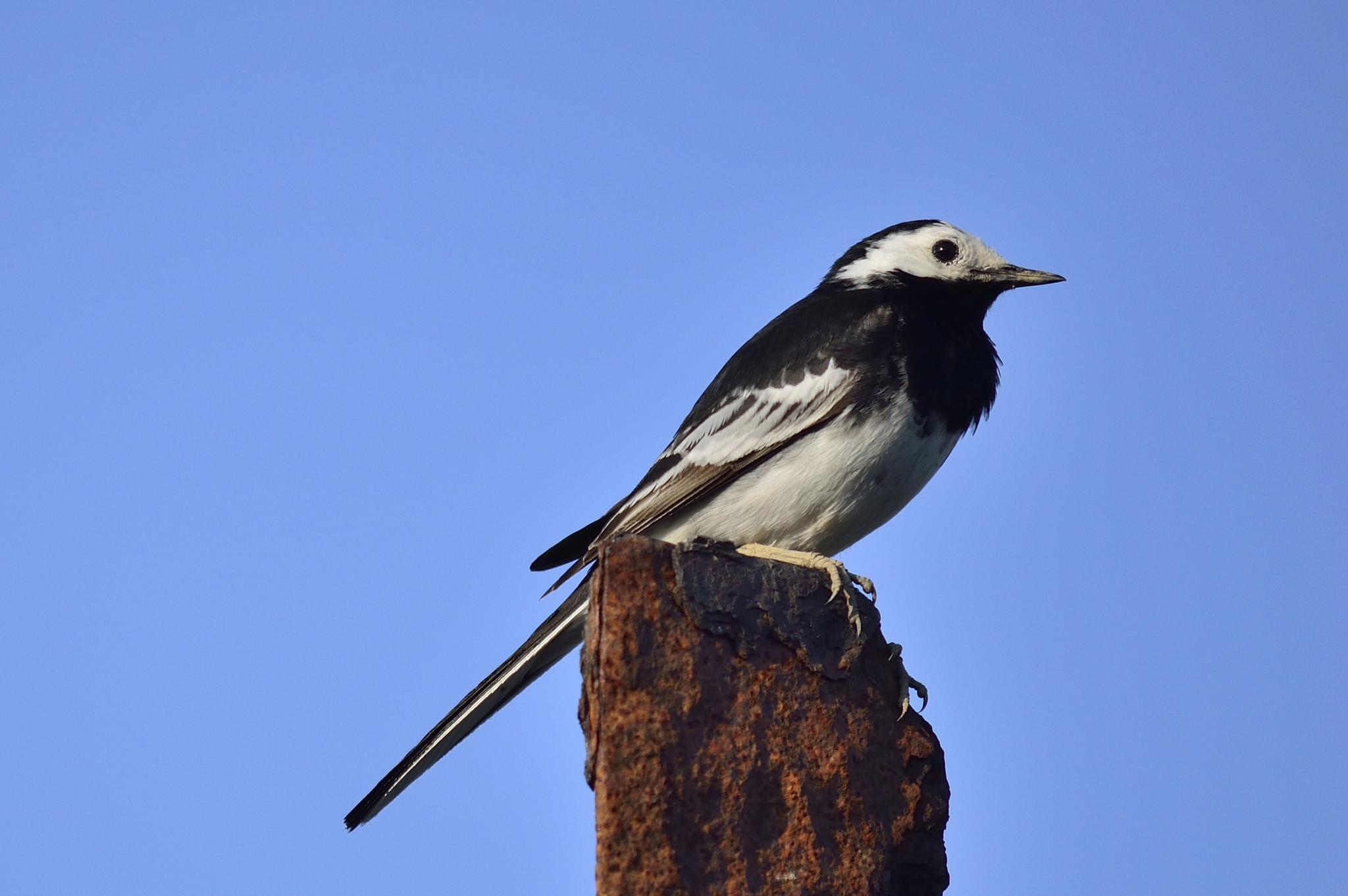 Pied Wagtail  by dannie843evans