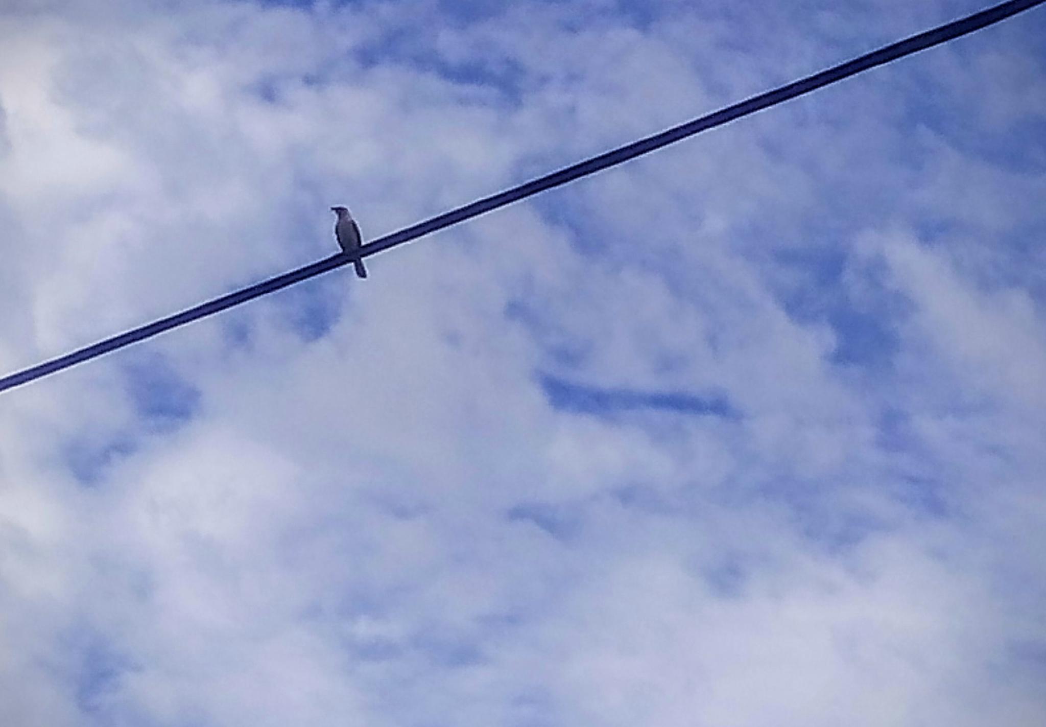 Bird on a wire by arisutton