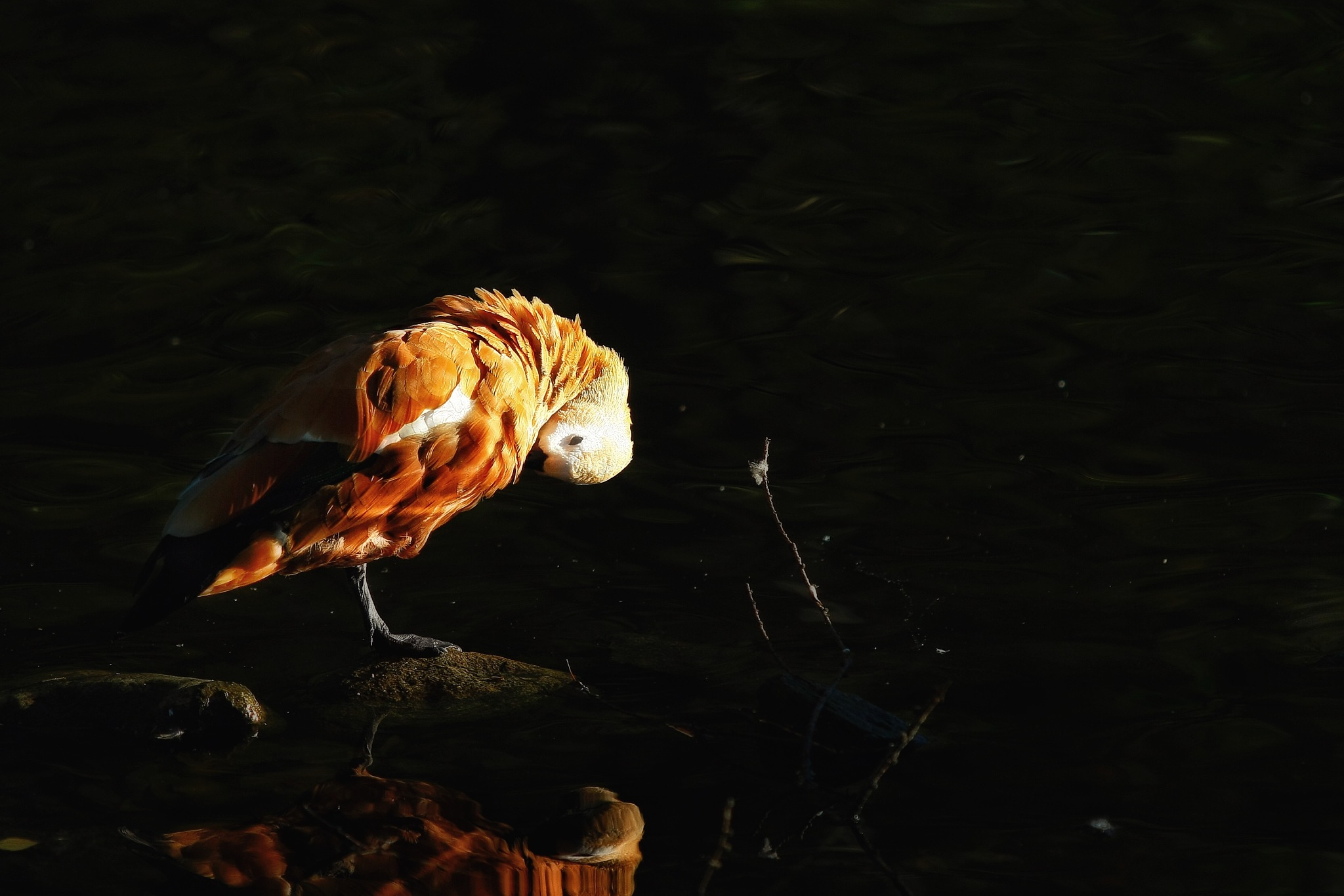 Ruddy shelduck/Rostand by Anders