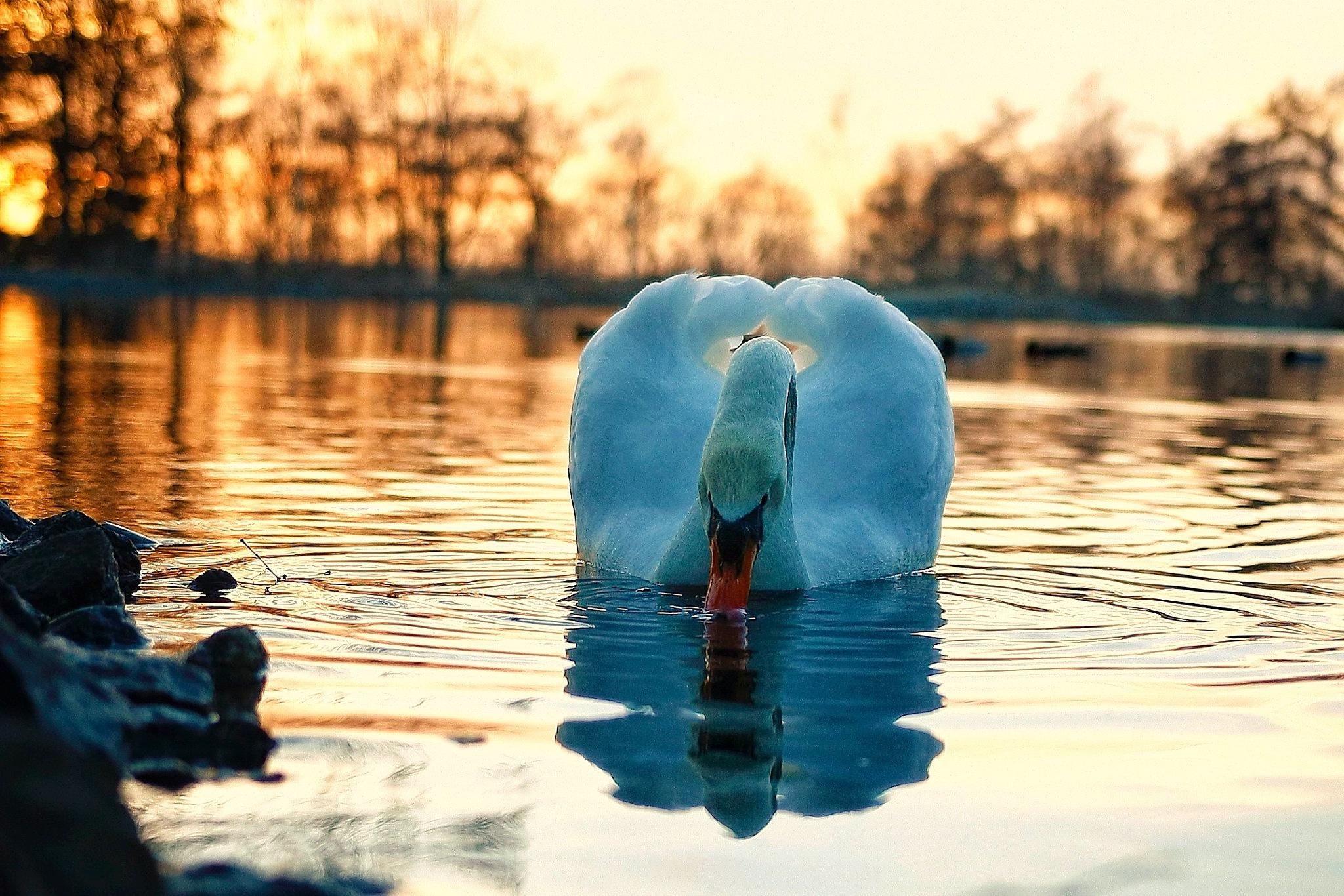 Swan / Knölsvan by Anders