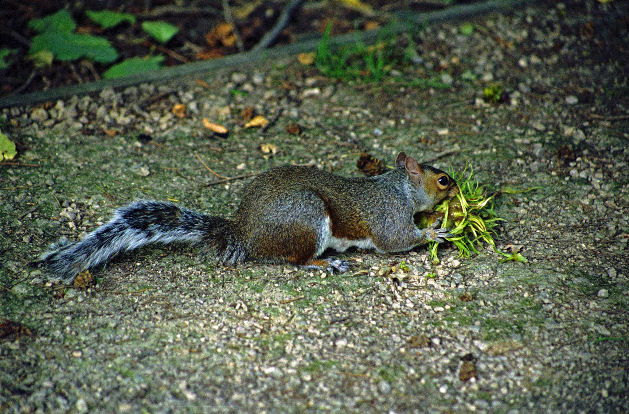 Twickers Squirrel by cln.wvr