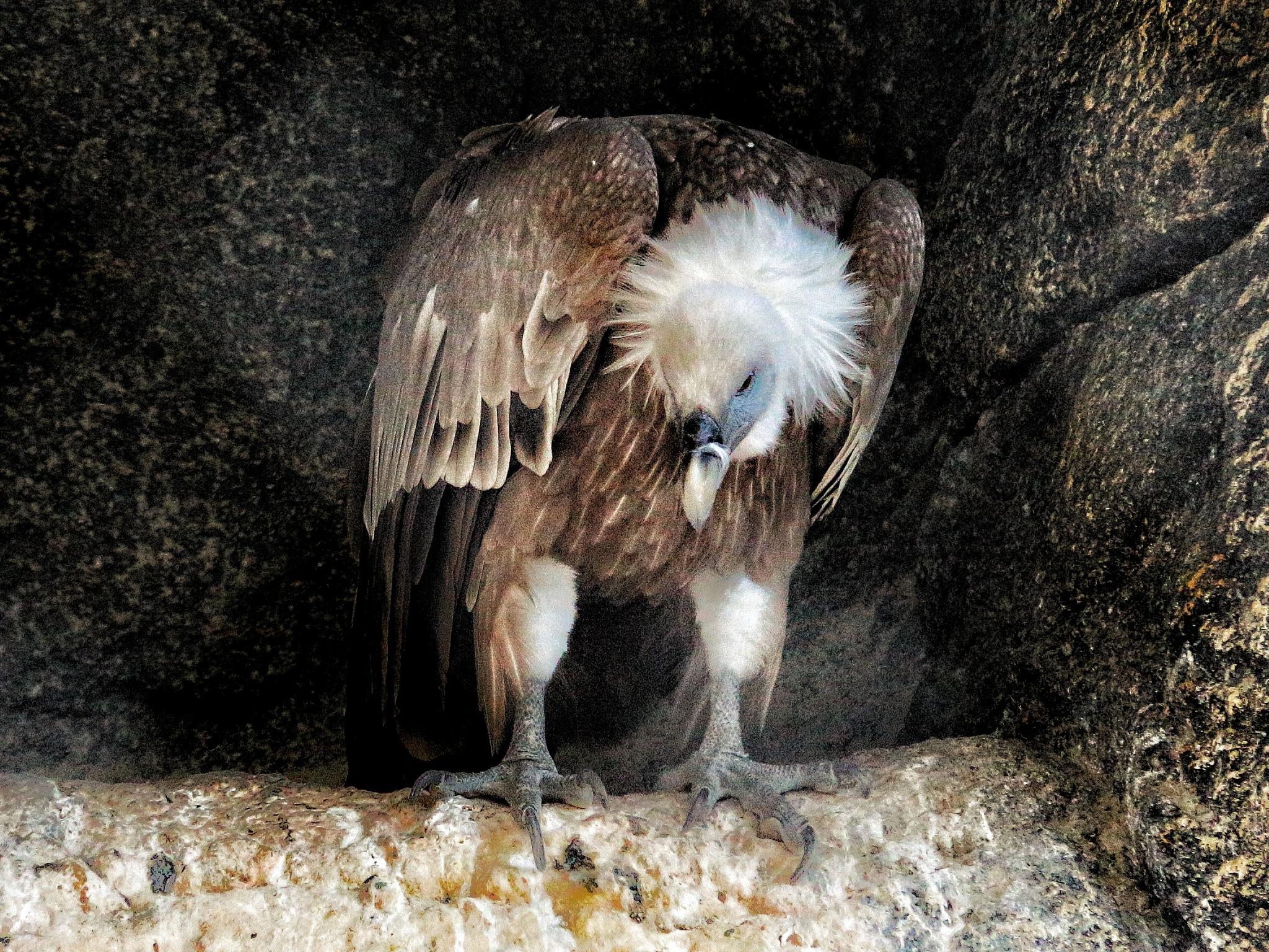 4699... Vulture... by Bedirhan Küpeli