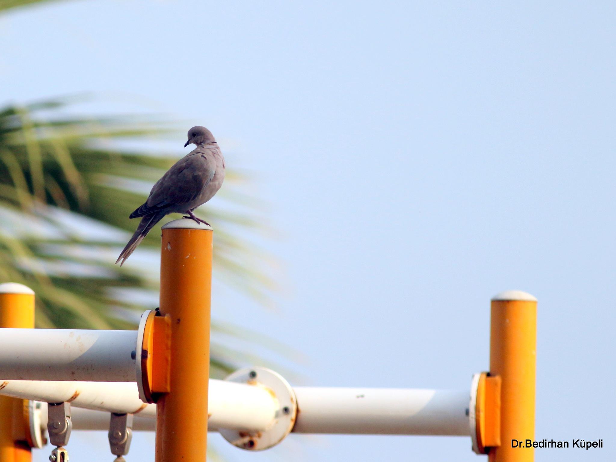 Eurasian Collared Dove by Bedirhan Küpeli