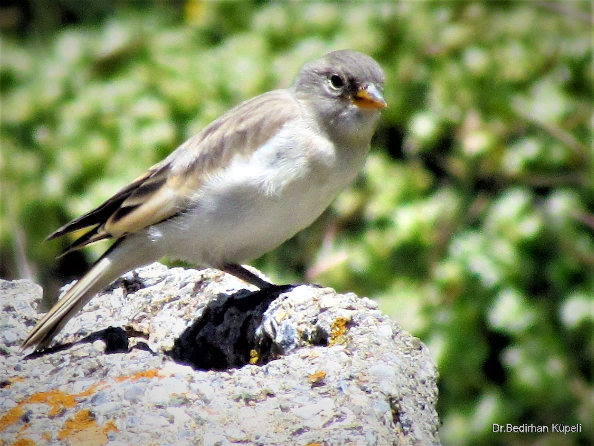 Photo in Animal #snowfinch #bird #animal #nature #bedir #bedirhan #outdoor #canon #ornito #colorful #green #blue #white #black #red #yellow #rock #wild #wildlife