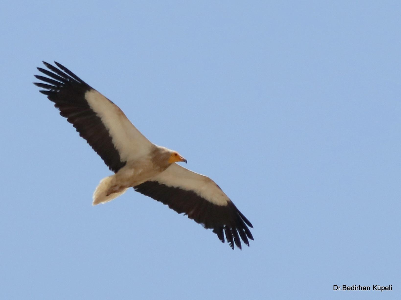 8228...Egyptian Vulture... by Bedirhan Küpeli
