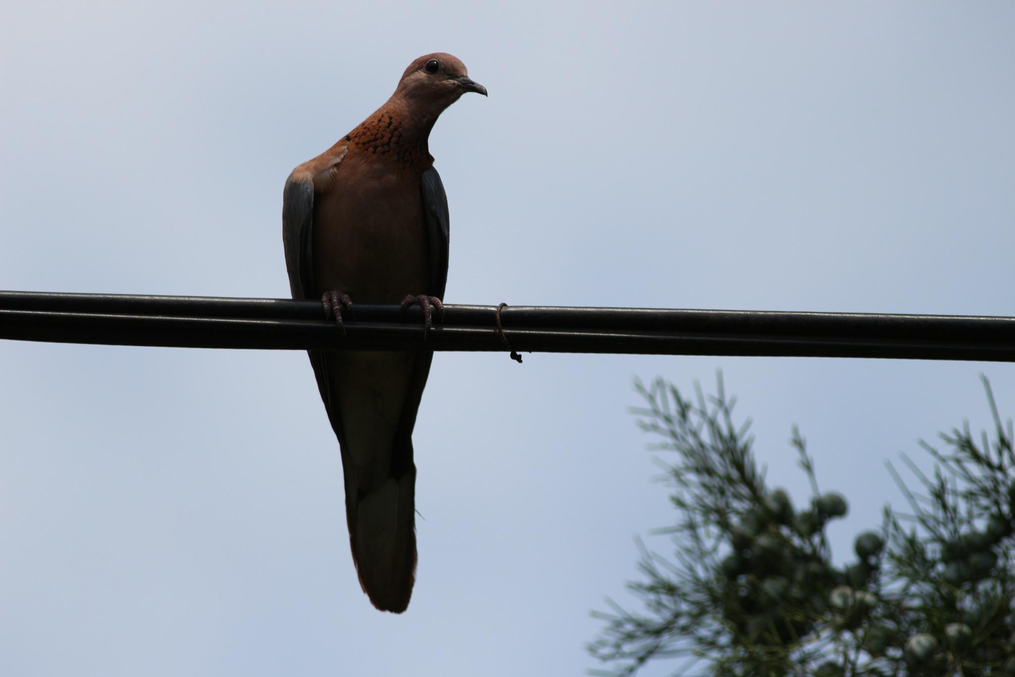 5287... Dove... by Bedirhan Küpeli