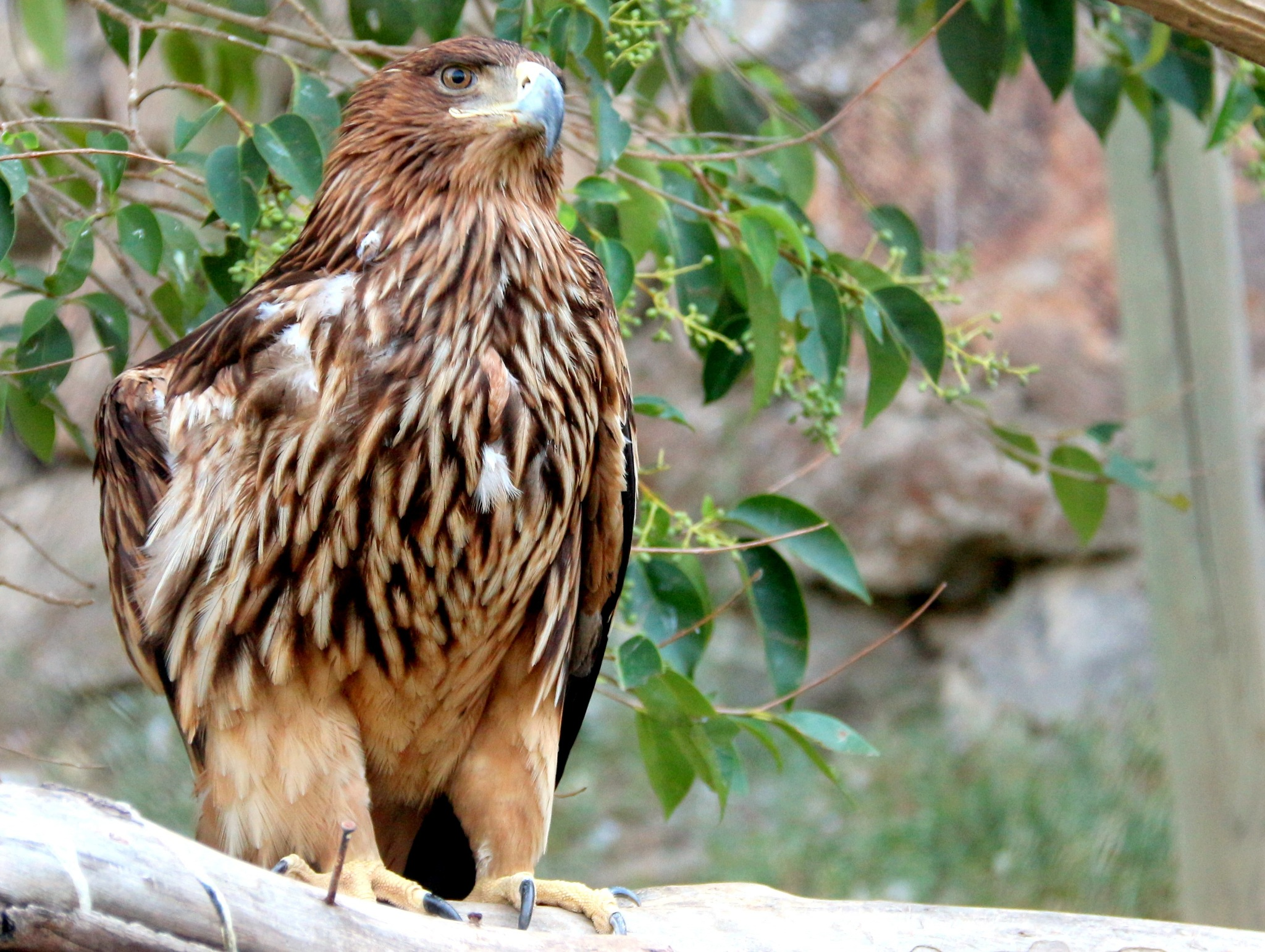 9608...Golden Eagle... by Bedirhan Küpeli