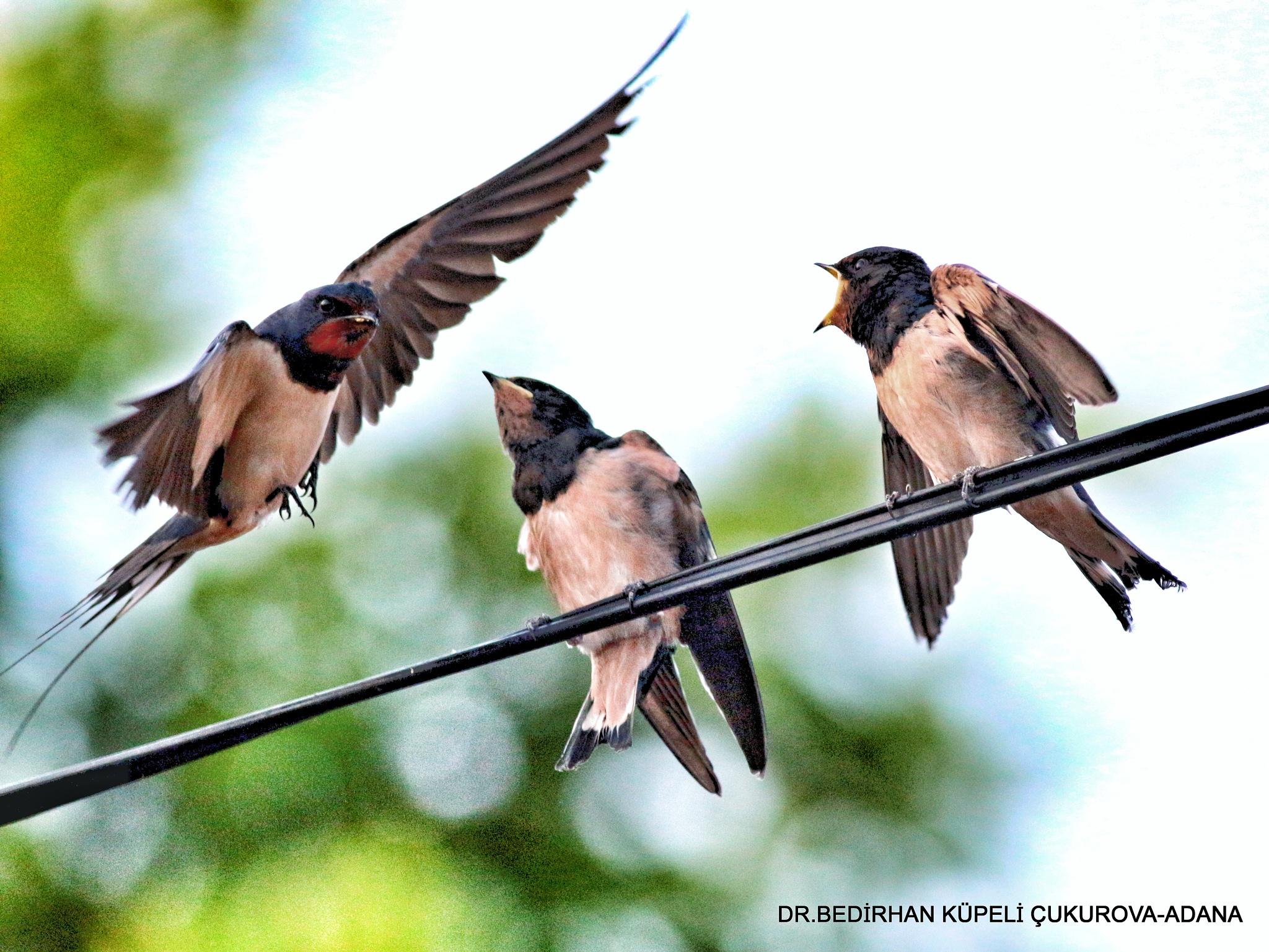 4697... Barn Swallow... by Bedirhan Küpeli