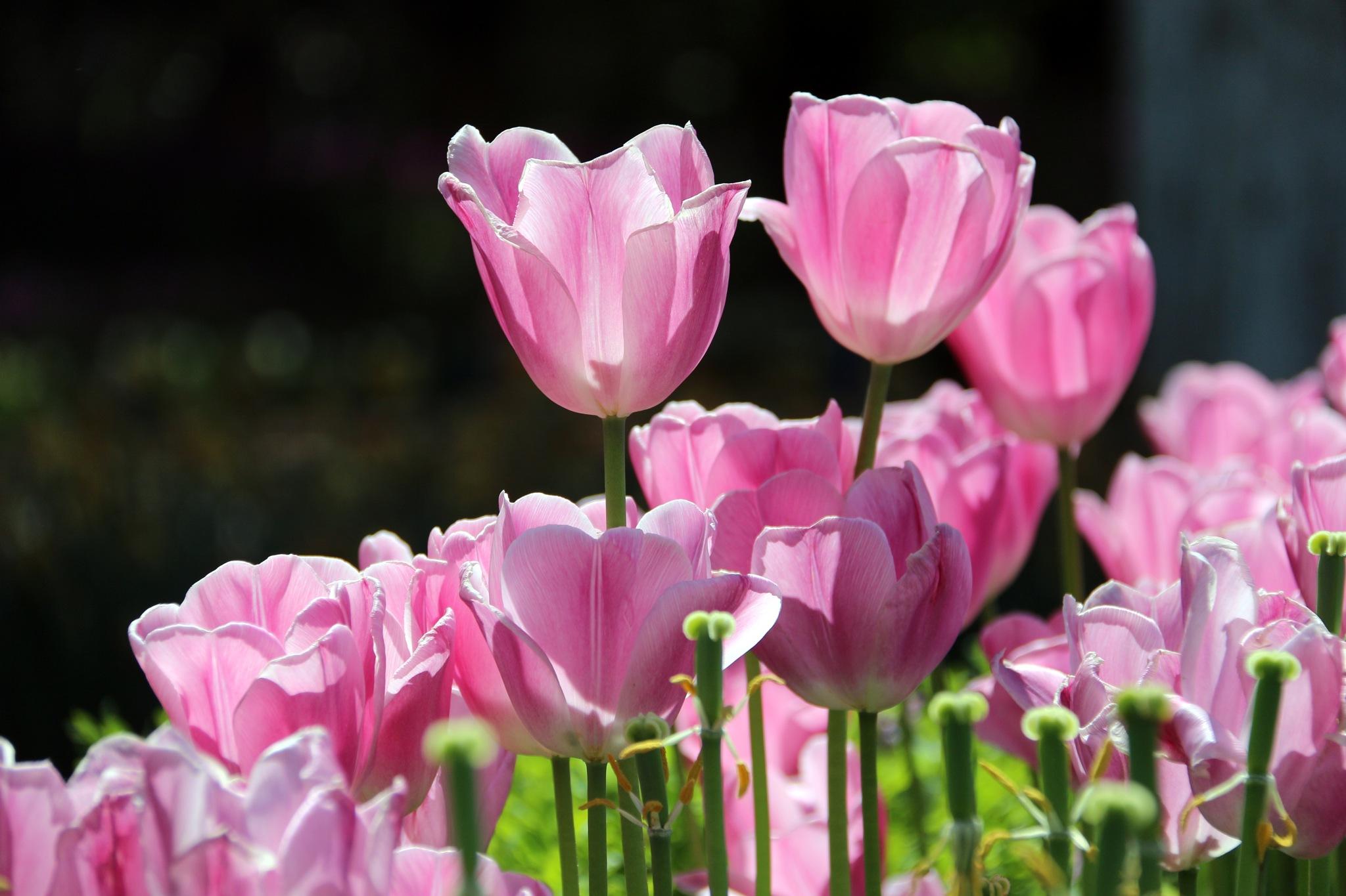 7398... Pink Tulips... by Bedirhan Küpeli