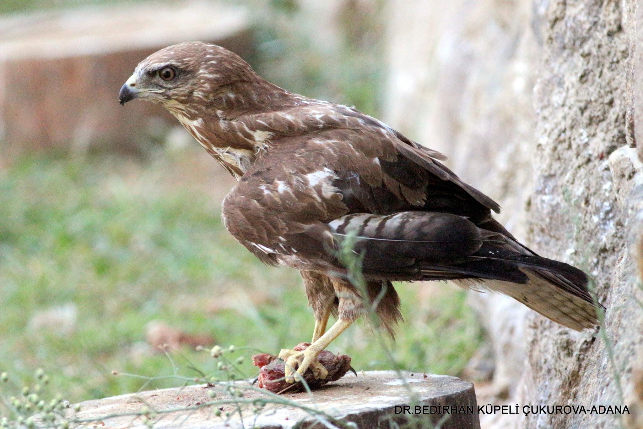 The Buzzard and hunted bird.... by Bedirhan Küpeli