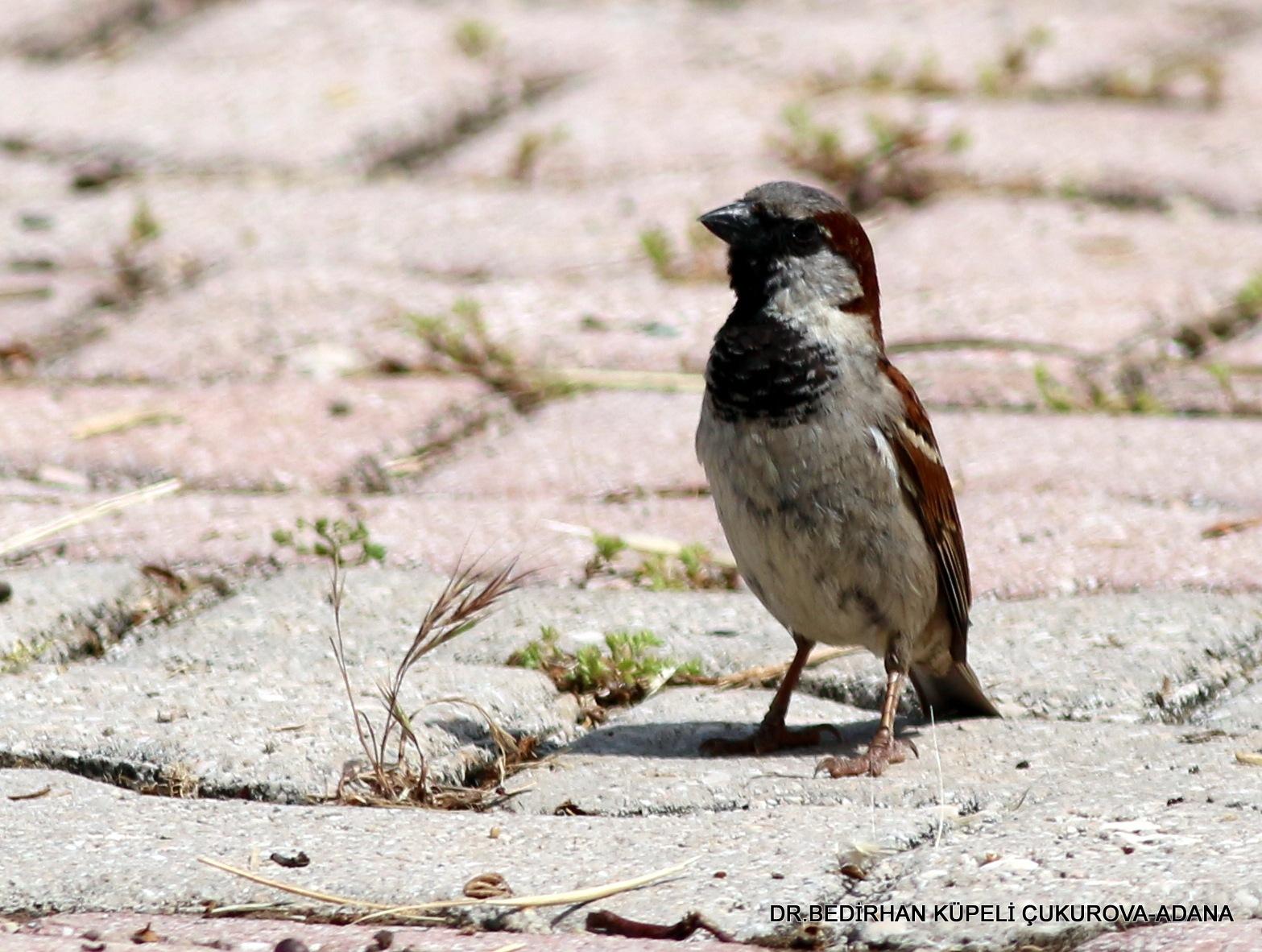 9590... Sparrow day.... by Bedirhan Küpeli