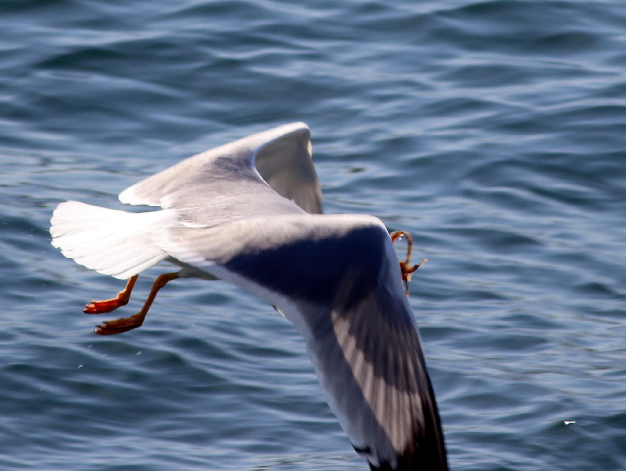 5885... Gull with the hunted fish... by Bedirhan Küpeli