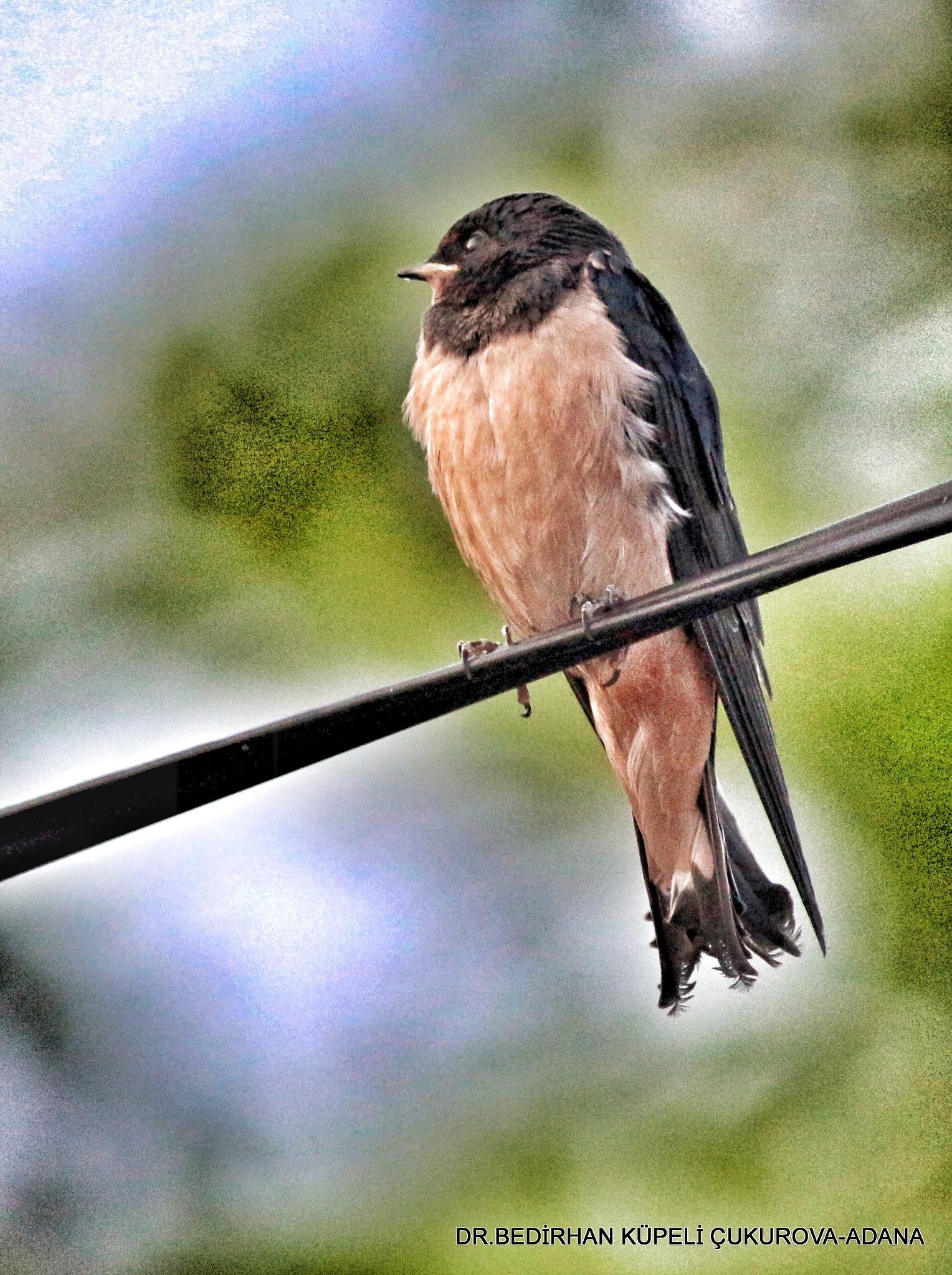 Barn Swallow.... by Bedirhan Küpeli