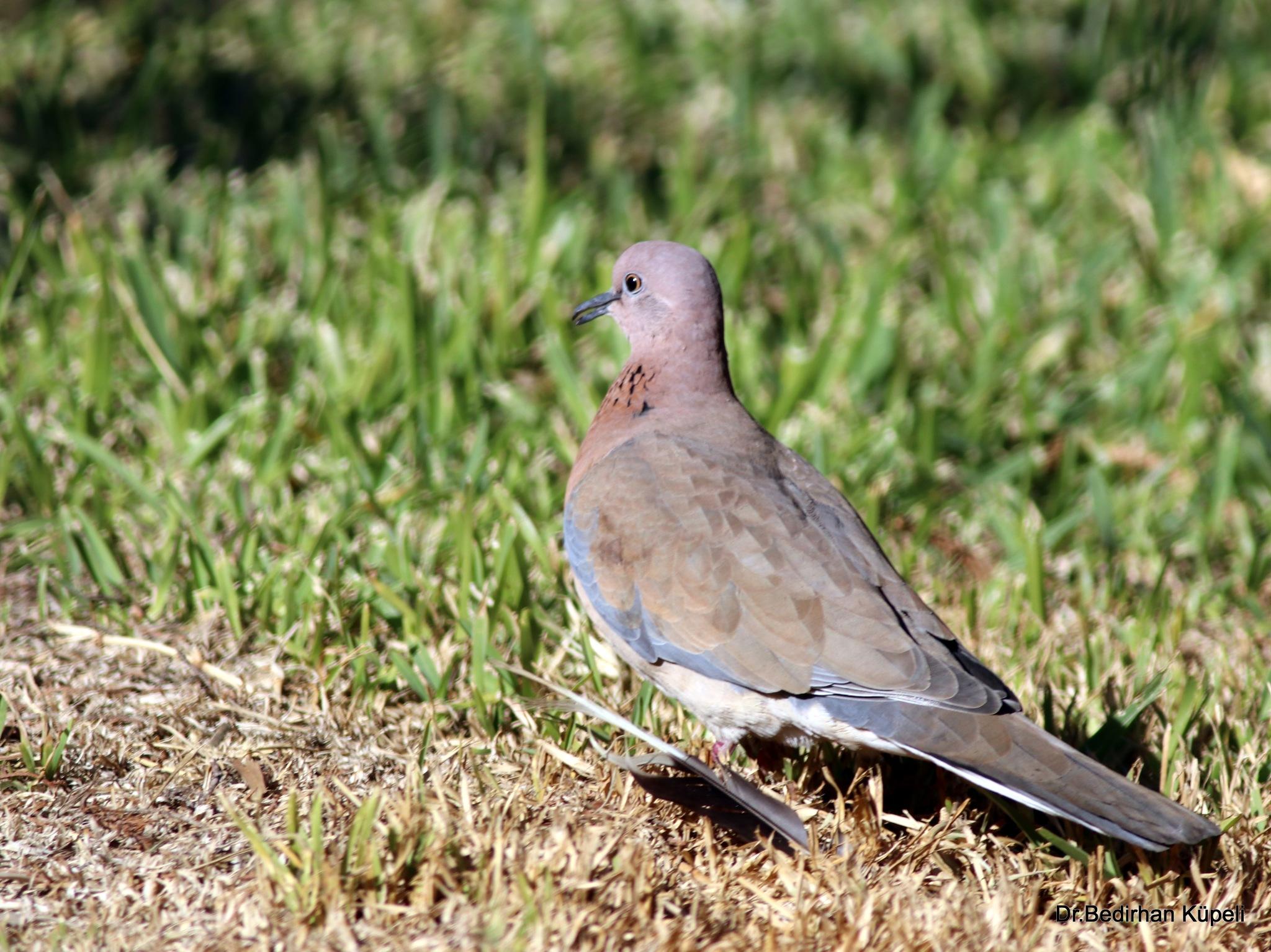 Photo in Animal #dove #bird #animal #nature #bedir #bedirhan #outdoor #canon #ornito #wild #wildlife #colorful